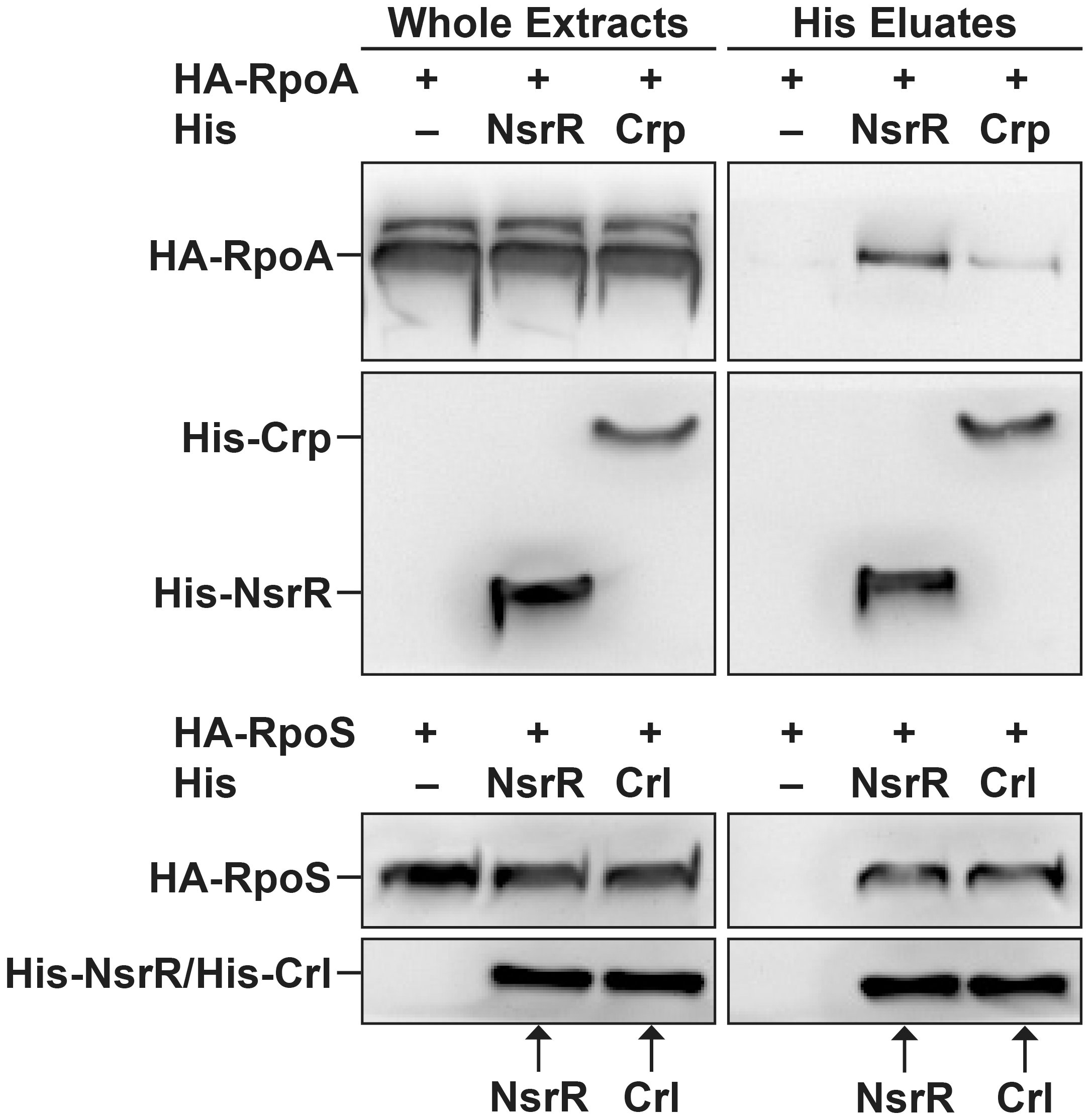 NsrR interacts with RNA polymerase complex.