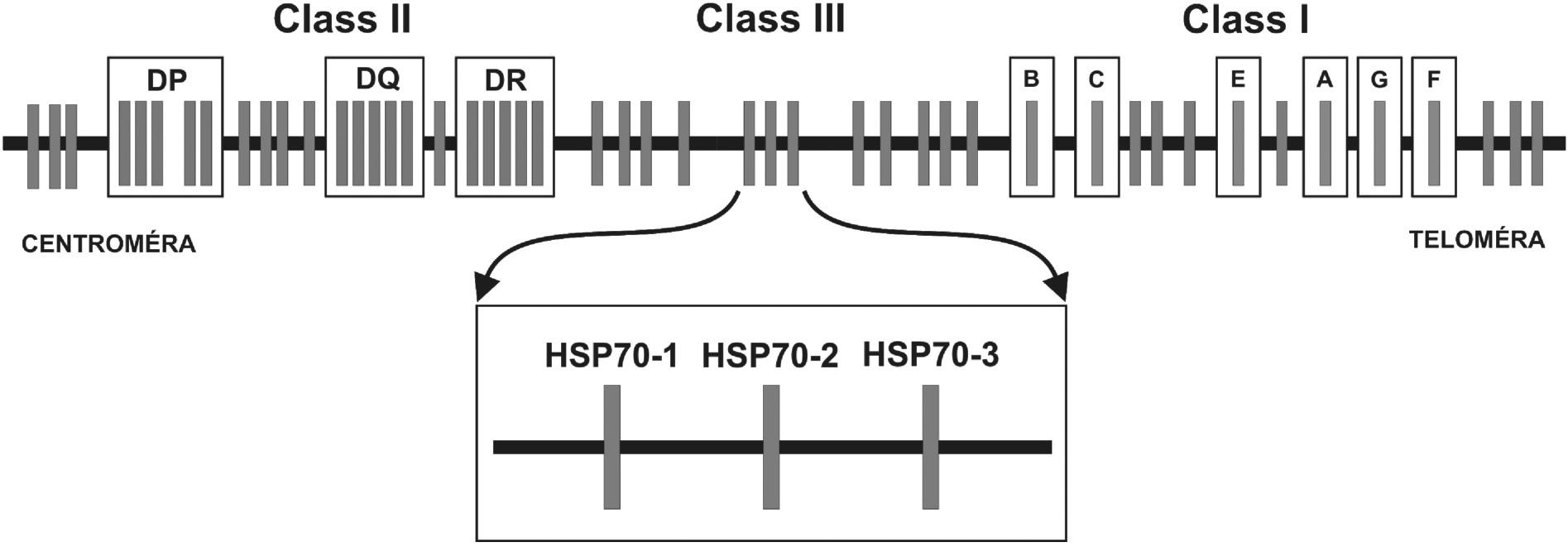"""Obr. 2. Génová mapa MHC:  Hlavný histokompatibilný komplex človeka sa nazýva Human Leukocyte Antigens. Delí sa na oblasti MHC molekúl I. a II. triedy (u človeka HLA-antigény I. triedy a II. triedy) a tzv. """"non class I/II MHC"""" molekuly. Medzi MHC antigény I. triedy patria gény, ktoré sú zapojené do endogénnej cesty prezentácie antigénu a smerom od teloméry umiestnené v poradí: HLA-F, -G, -A, -E, -C a –B. Gény lokusov umiestnených centromericky – HLA-DR, DQ, DP – kódujú MHC antigény II. triedy, ktoré sú zapojené do exogénnej cesty prezentácie antigénu. Gény oblasti nachádzajúcej sa medzi MHC antigénmi I. a II. triedy, sú označované ako gény """"non classI/II MHC"""" gény. V tejto oblasti sanachádzajú okrem iných tri gény pre proteíny HSP70 (heat shock protein) – HSP70-1, HSP70-2 a HSP70-3."""