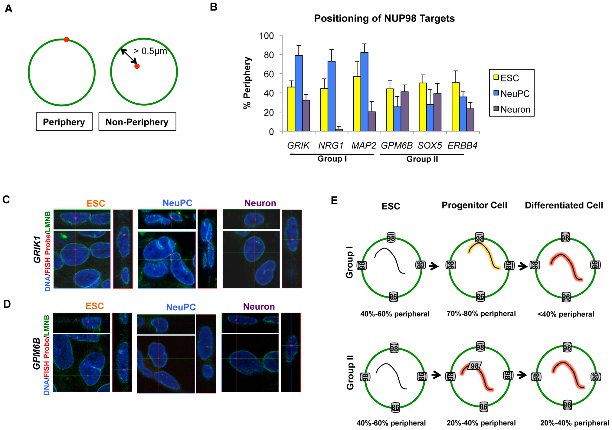 Distinct localization of two groups of NUP98-regulated developmental genes.
