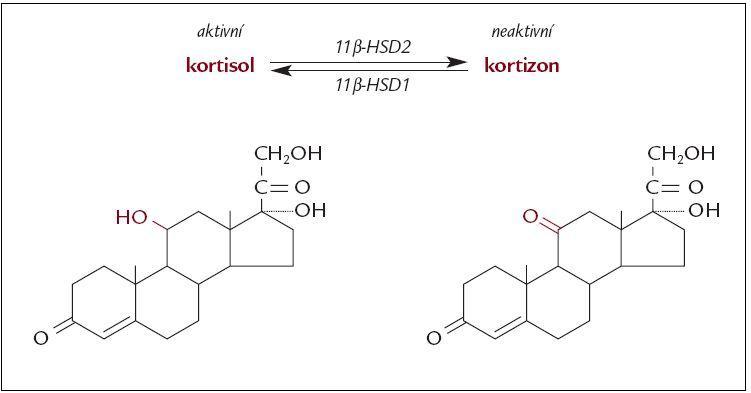 Schéma 2. Lokální regulace účinků glukokortikoidů v kosti na prereceptorové úrovni.