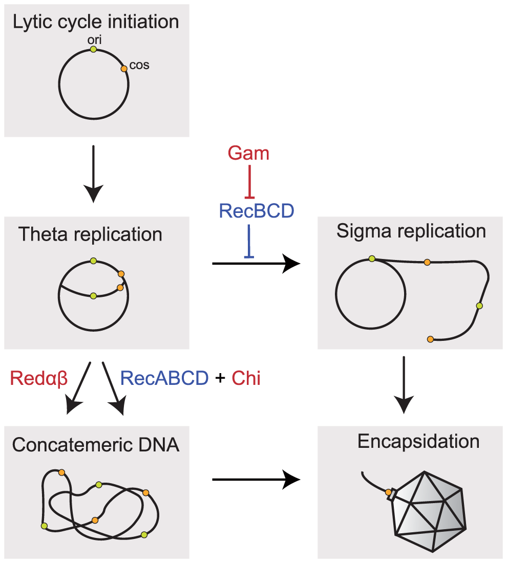 Implication of recombination in the replication of Lambda phage.