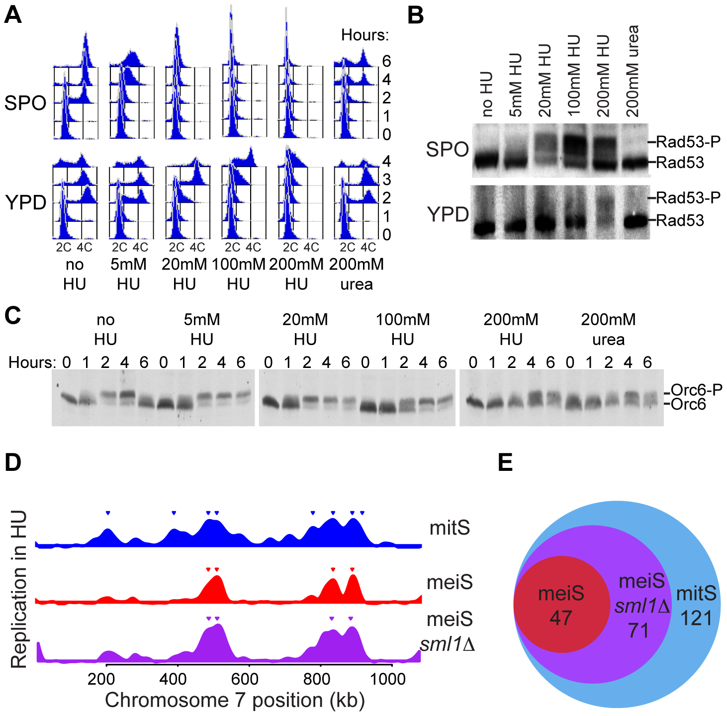 Reduced replication initiation in meiS.