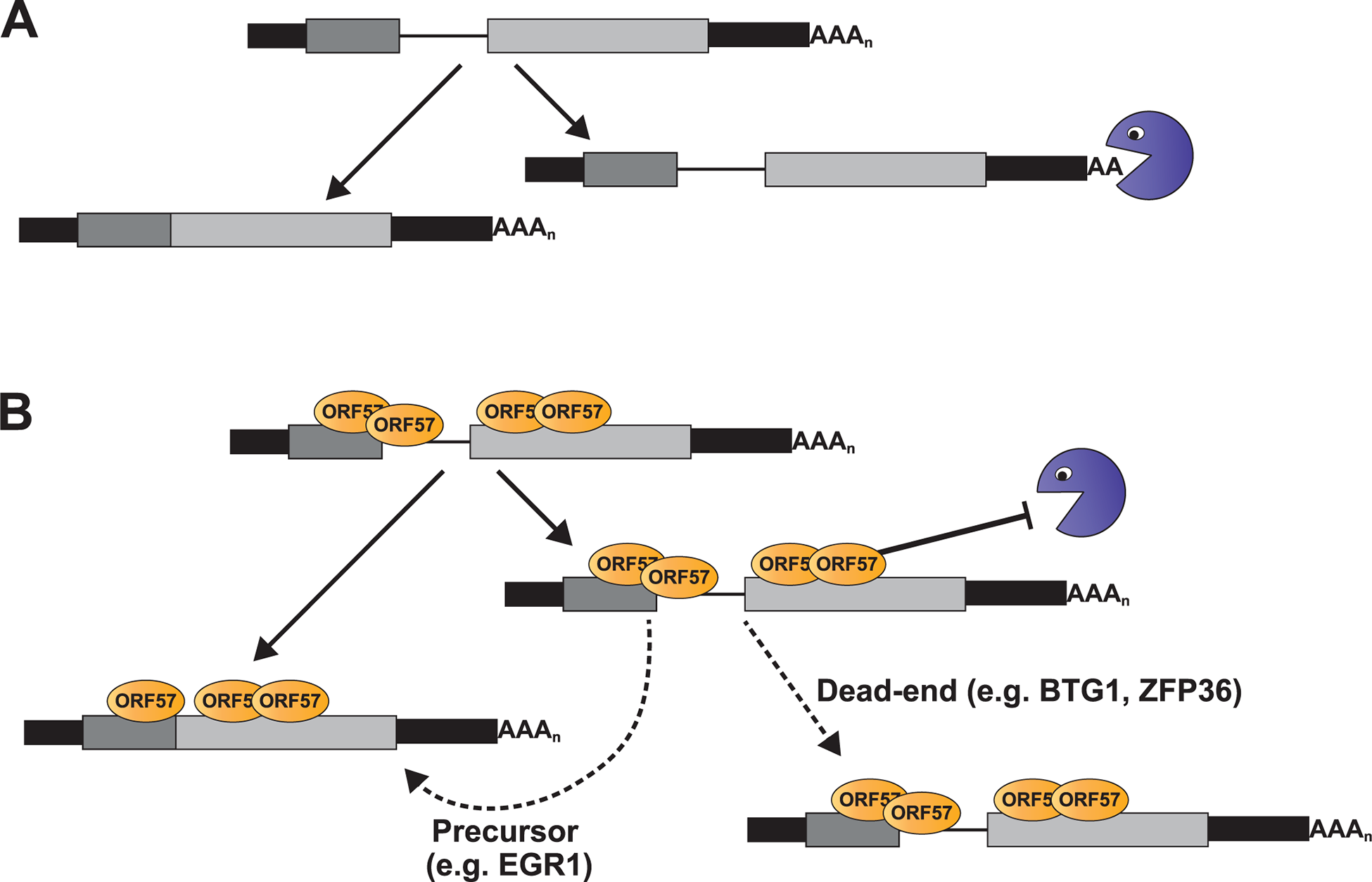 Model for ORF57-mediated regulation of host pre-mRNAs.