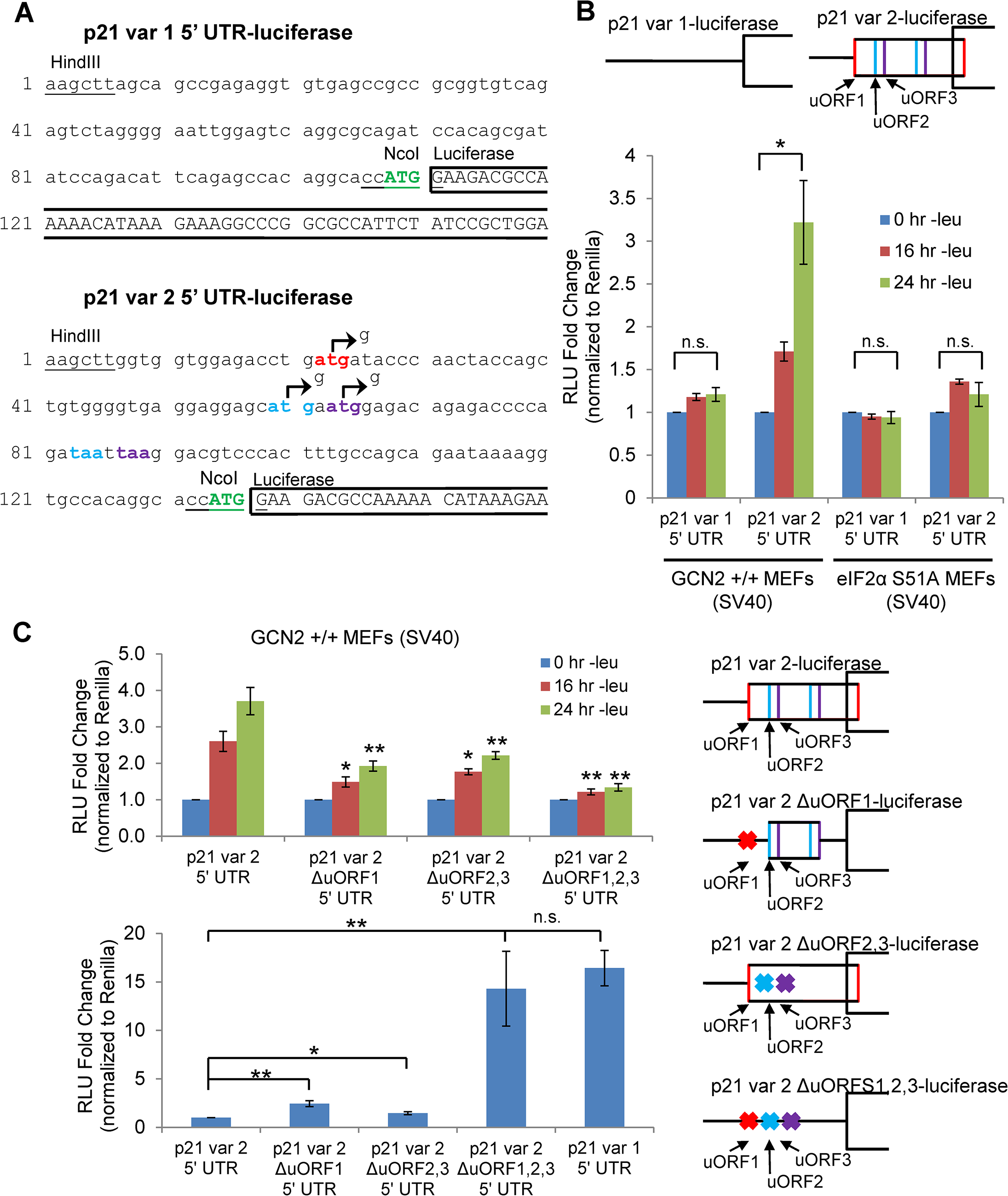 GCN2-dependent translational upregulation of p21 is specific to variant 2 and mediated by the presence of 5' uORFs.