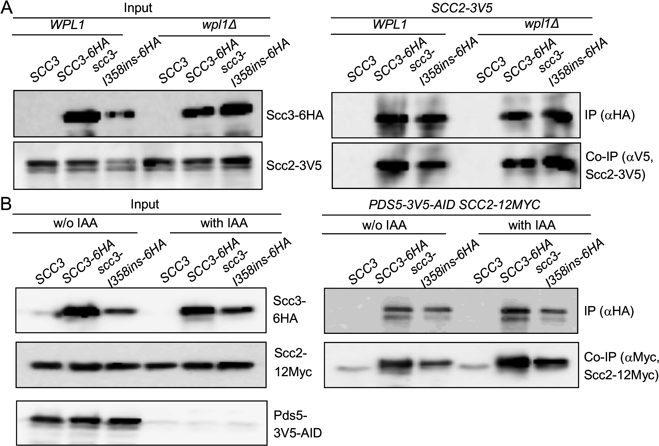 Impact of cohesin accessory factors on Scc2 binding to cohesin.
