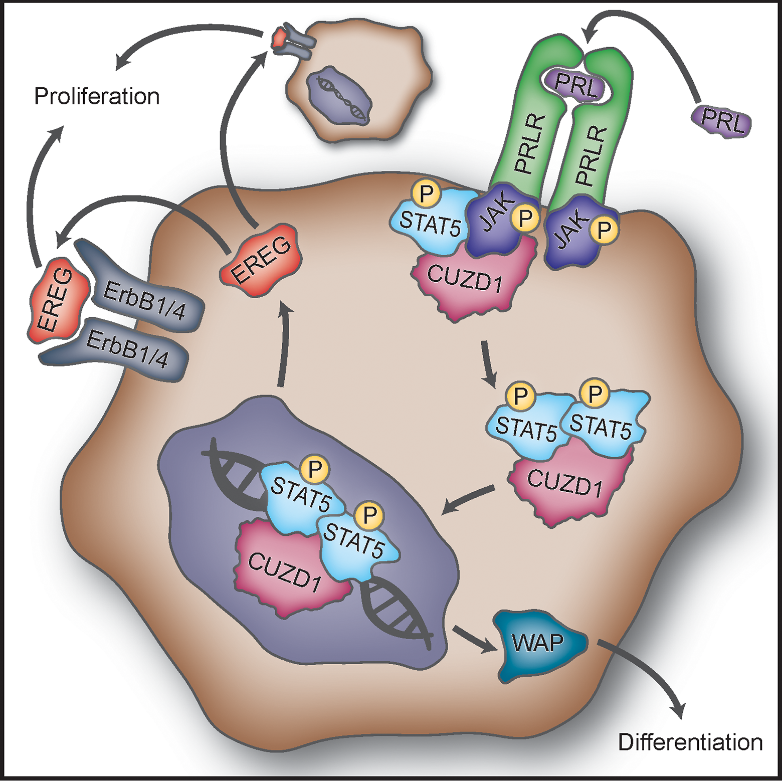 Proposed mechanism of action of CUZD1 in the mammary gland epithelium.