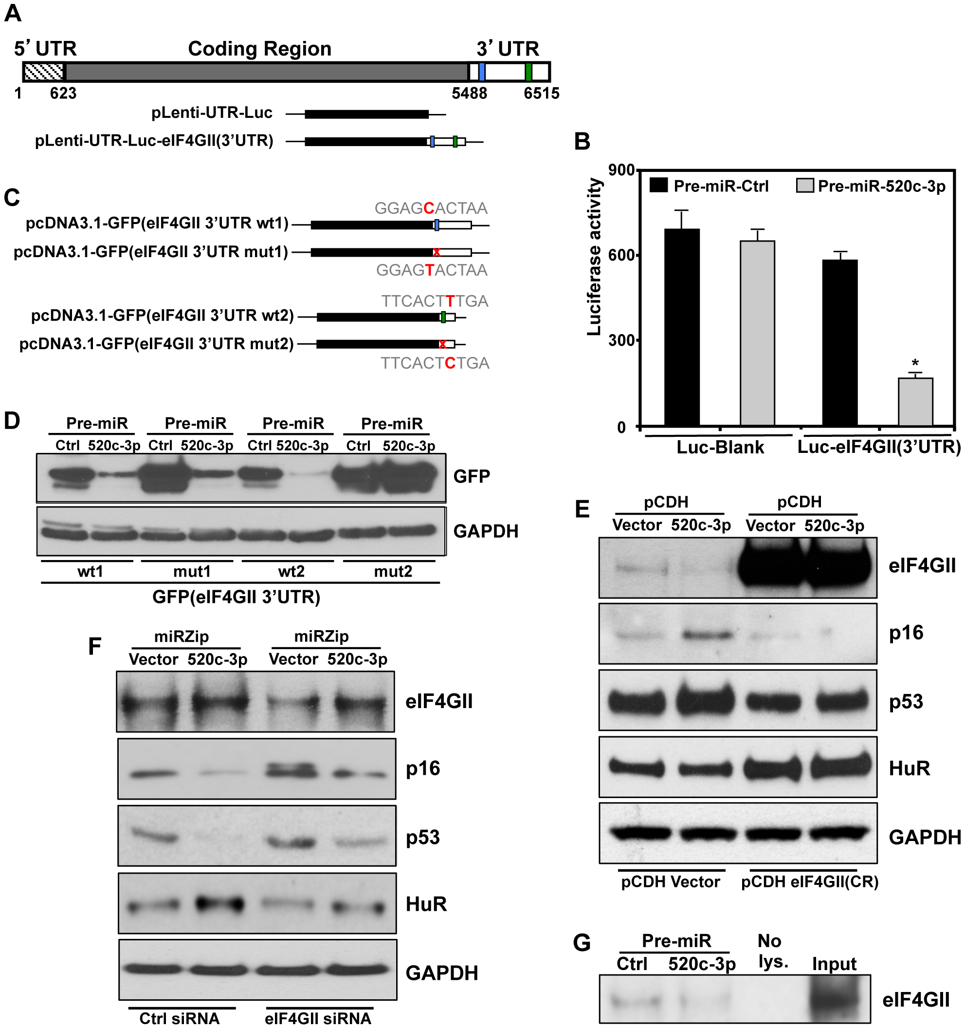 eIF4GII is a specific target of miR-520c-3p.