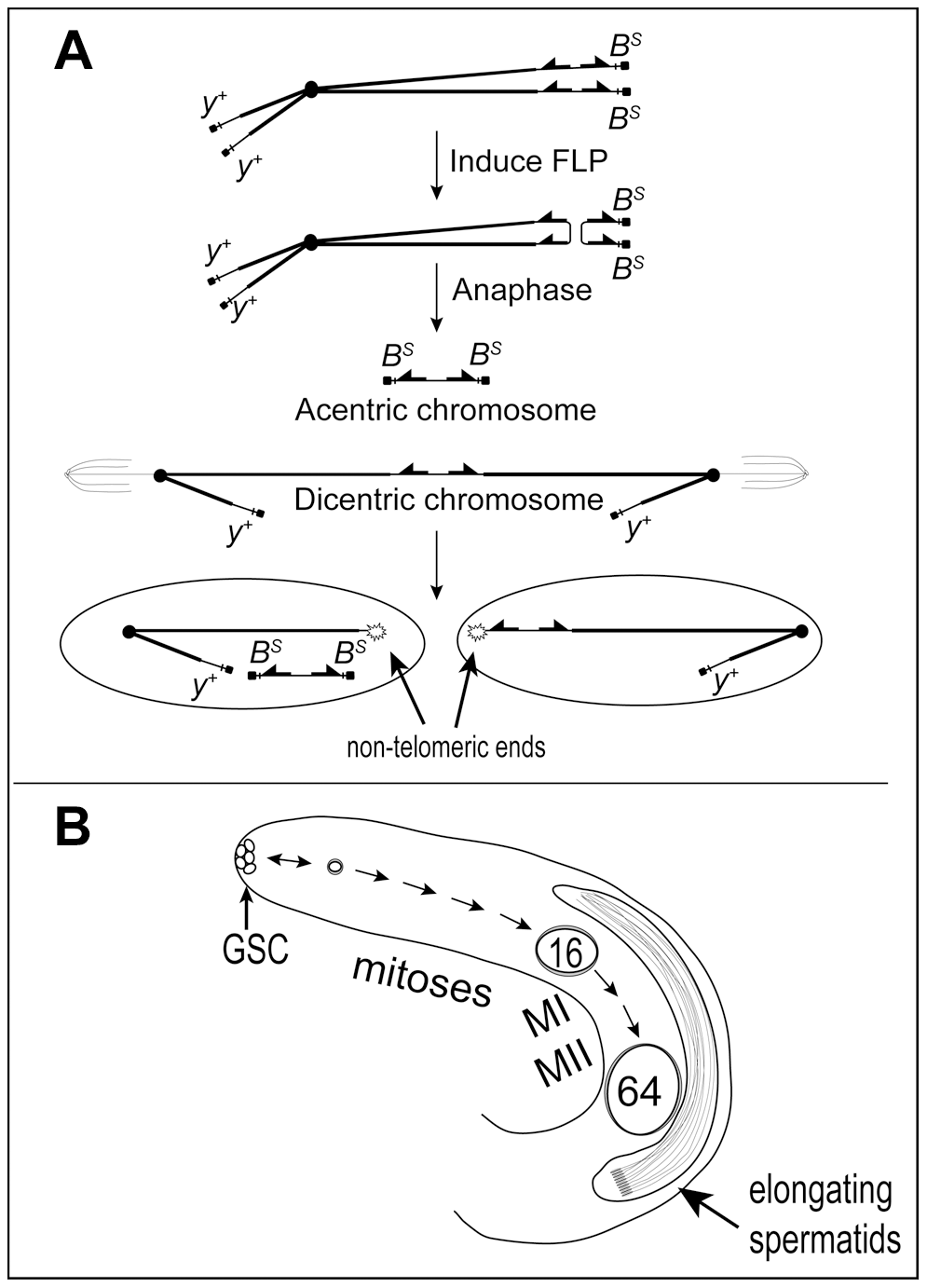 Dicentric chromosome formation and spermatogenesis.