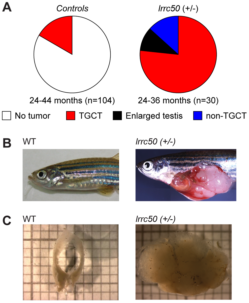 Heterozygous <i>lrrc50<sup>Hu255h</sup></i> zebrafish are predisposed to testicular tumor formation.