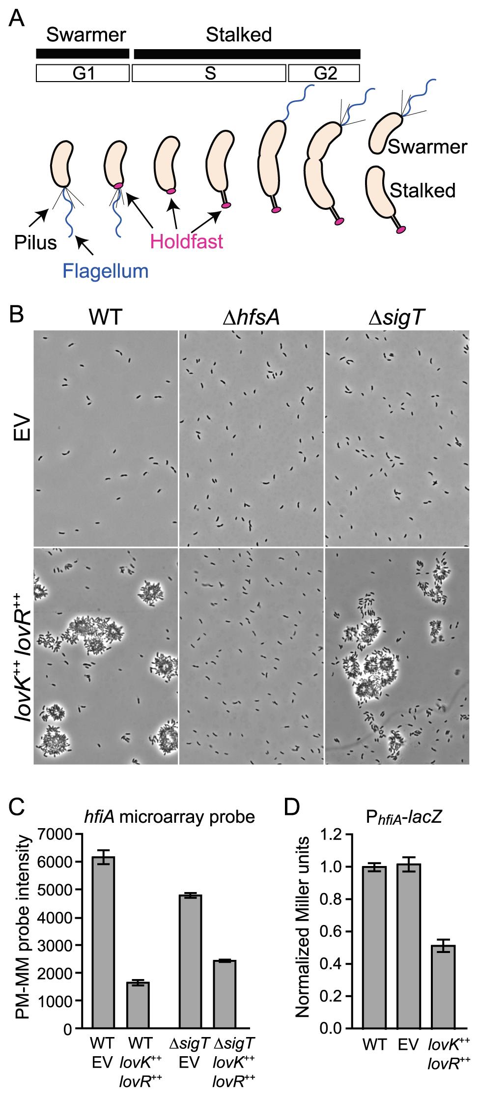 <i>lovK-lovR</i>–enhanced adhesion and transcriptional repression of <i>CC_0817 (hfiA)</i>.