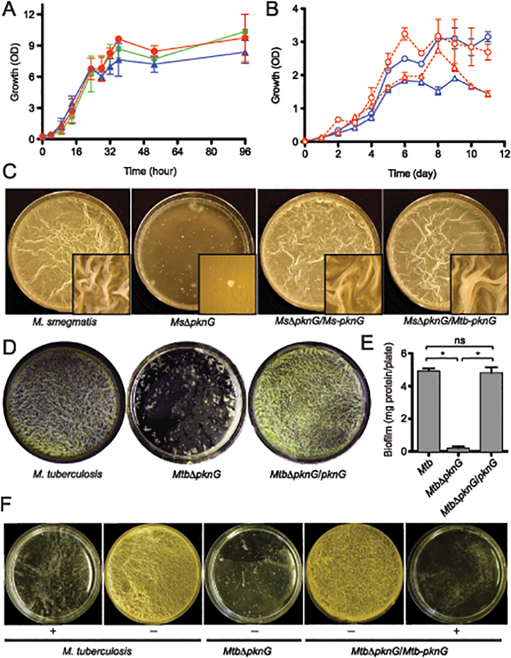 PknG kinase activity is required for biofilm growth in mycobacteria.