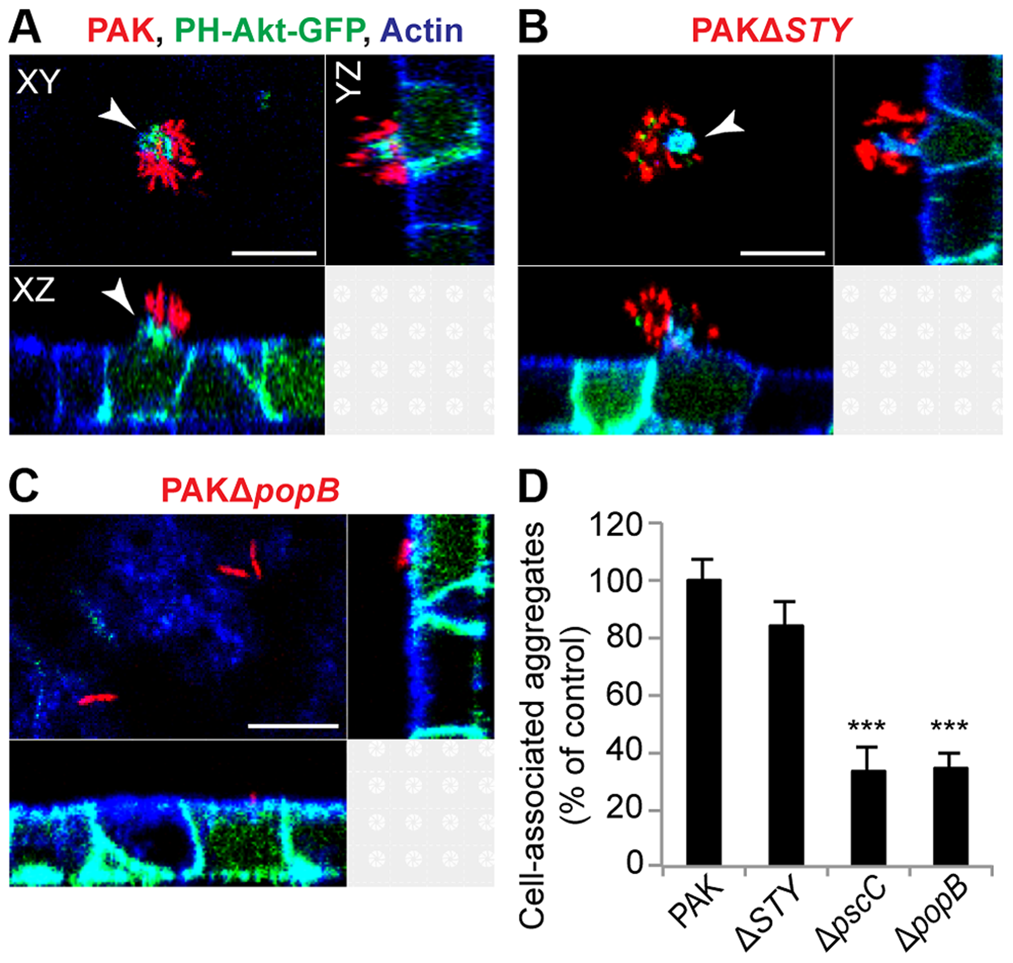 Cell-associated aggregation requires the T3SS translocon but does not require T3SS effectors.