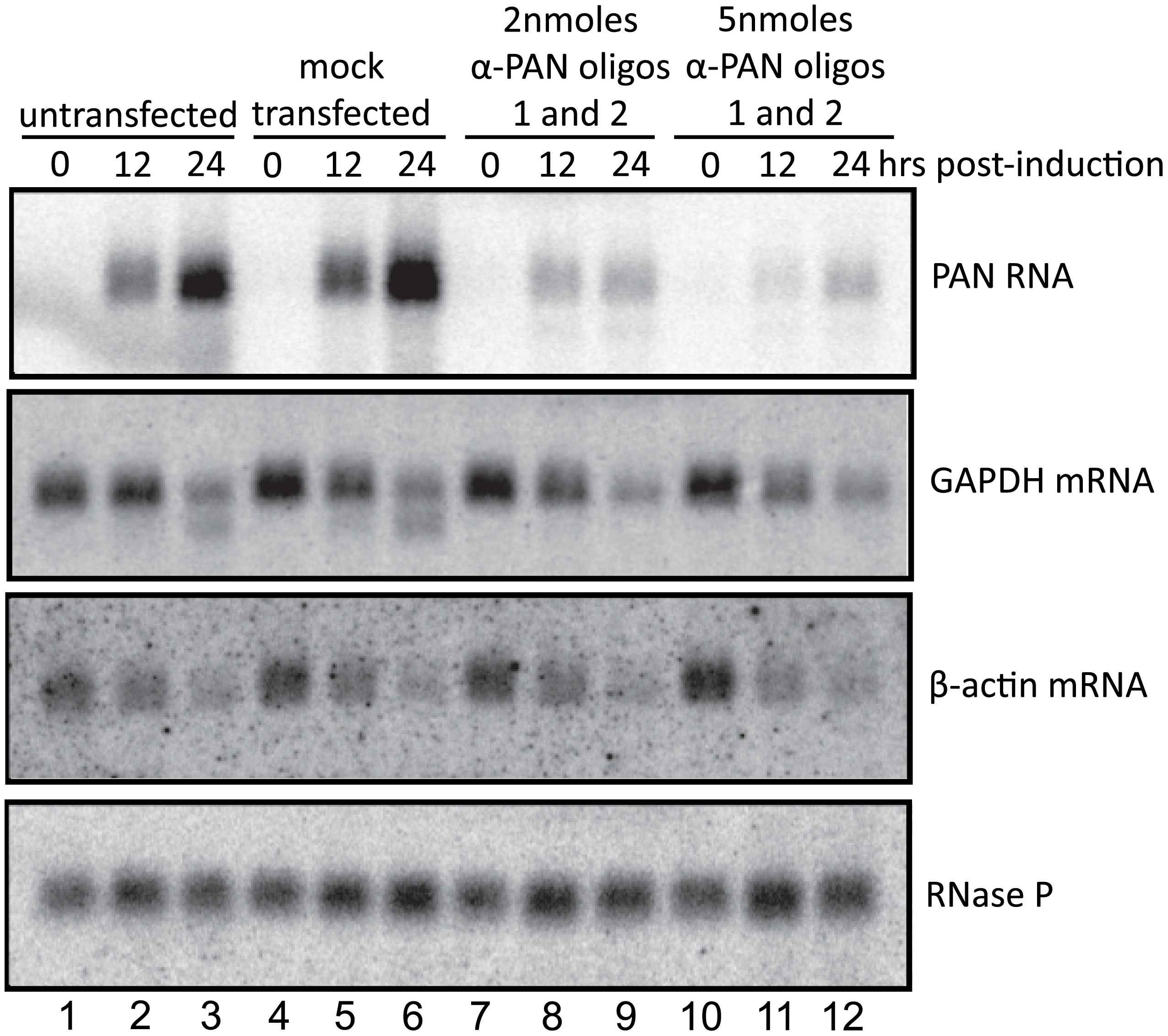 PAN RNA does not contribute to the host shutoff effect.