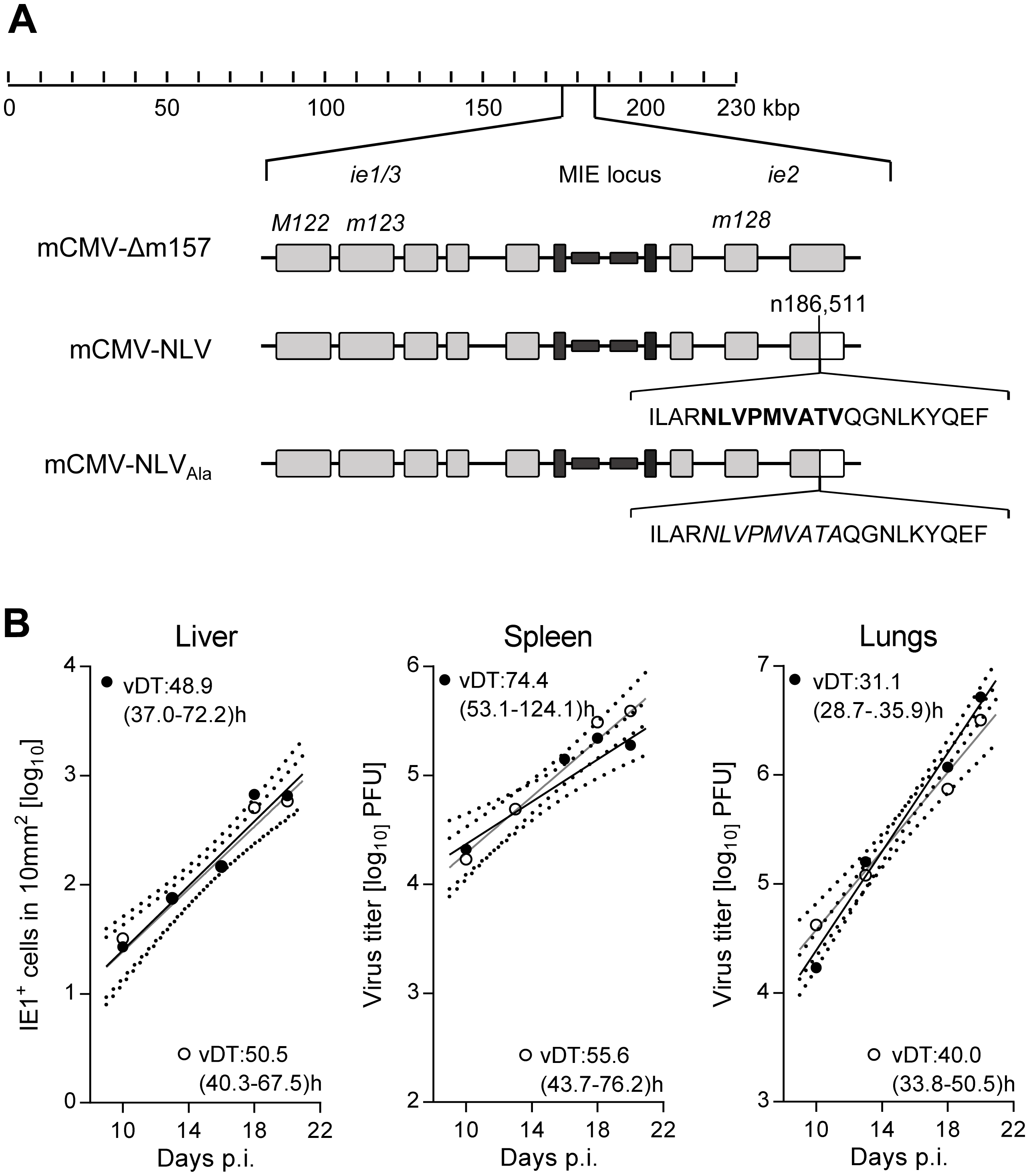 Construction and characterization of recombinant mCMV-NLV expressing the HLA-A2.1 restricted peptide NLV.
