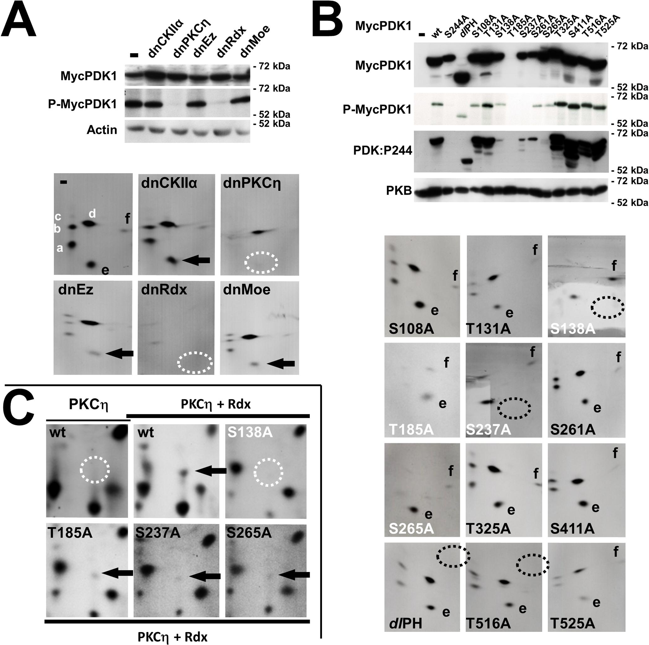 MVM induces PDK1 activation through PKCη/Rdx-driven <i>trans</i>-phosphorylation at S138.