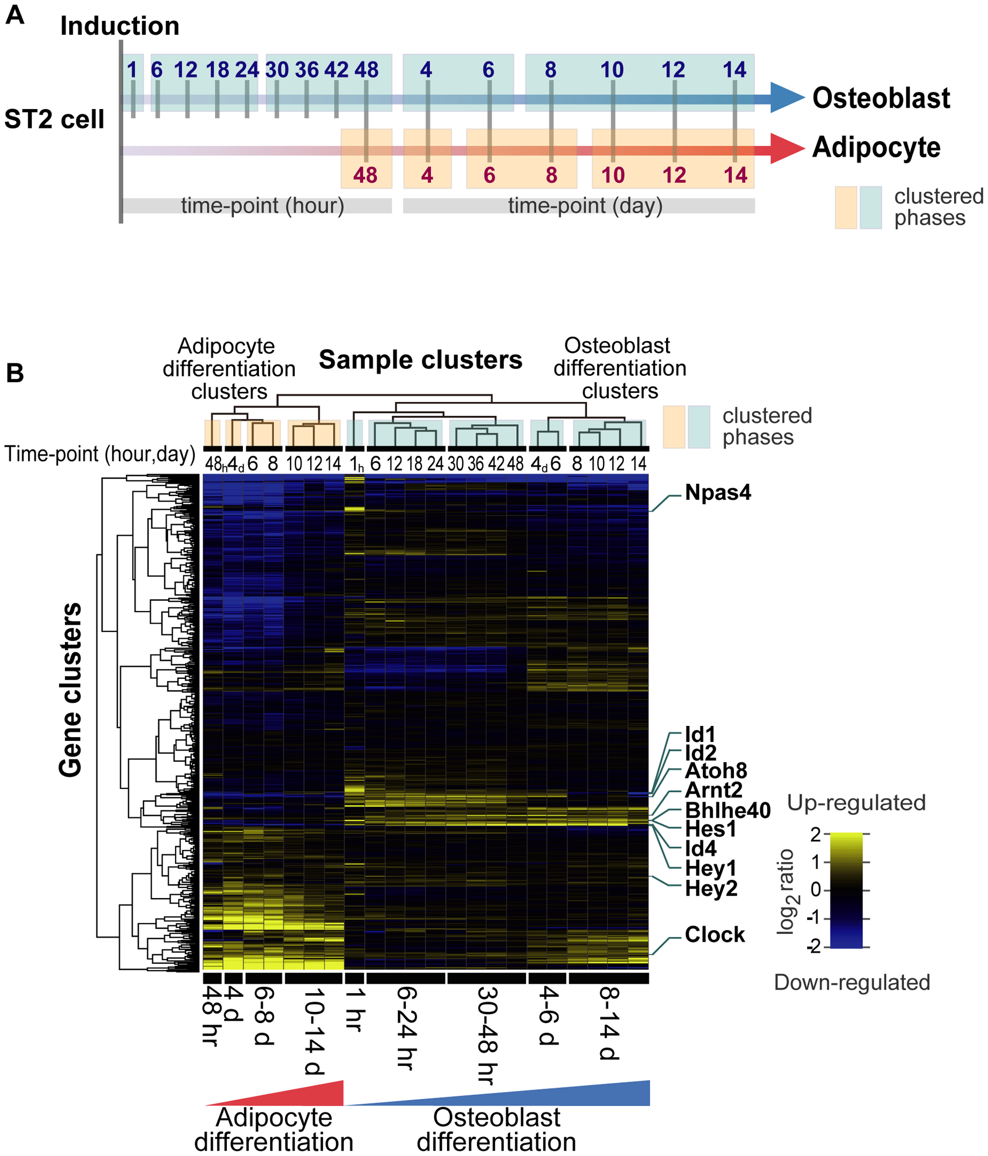 Transcription factor gene expression framework of differentiating ST2 cells.