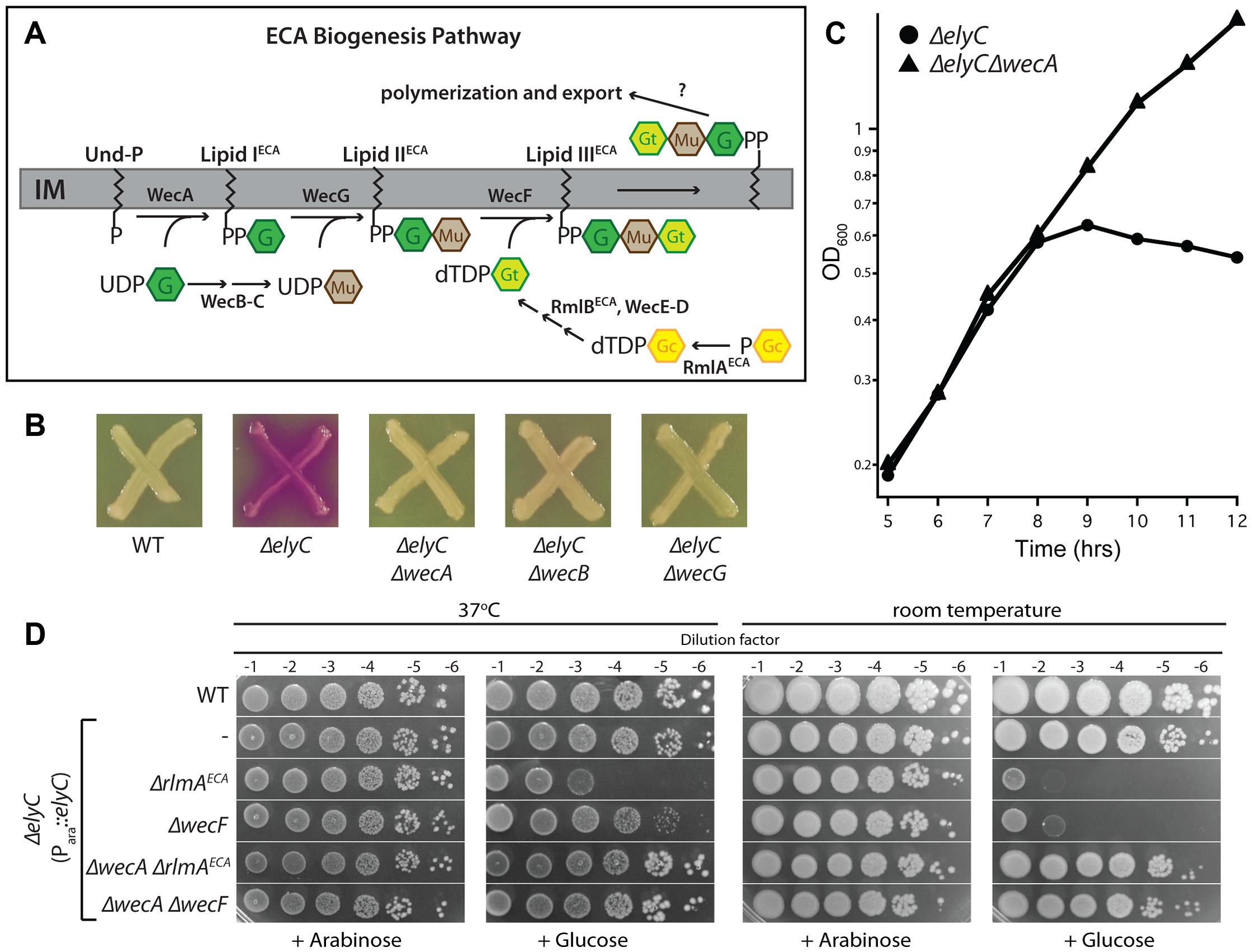 Genetic interaction between ElyC and the ECA biogenesis pathway.
