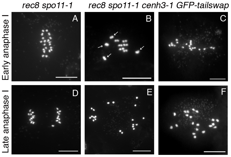 Removing the meiosis-specific cohesin REC8 does not restore meiotic kinetochore function in <i>GFP-tailswap</i>.