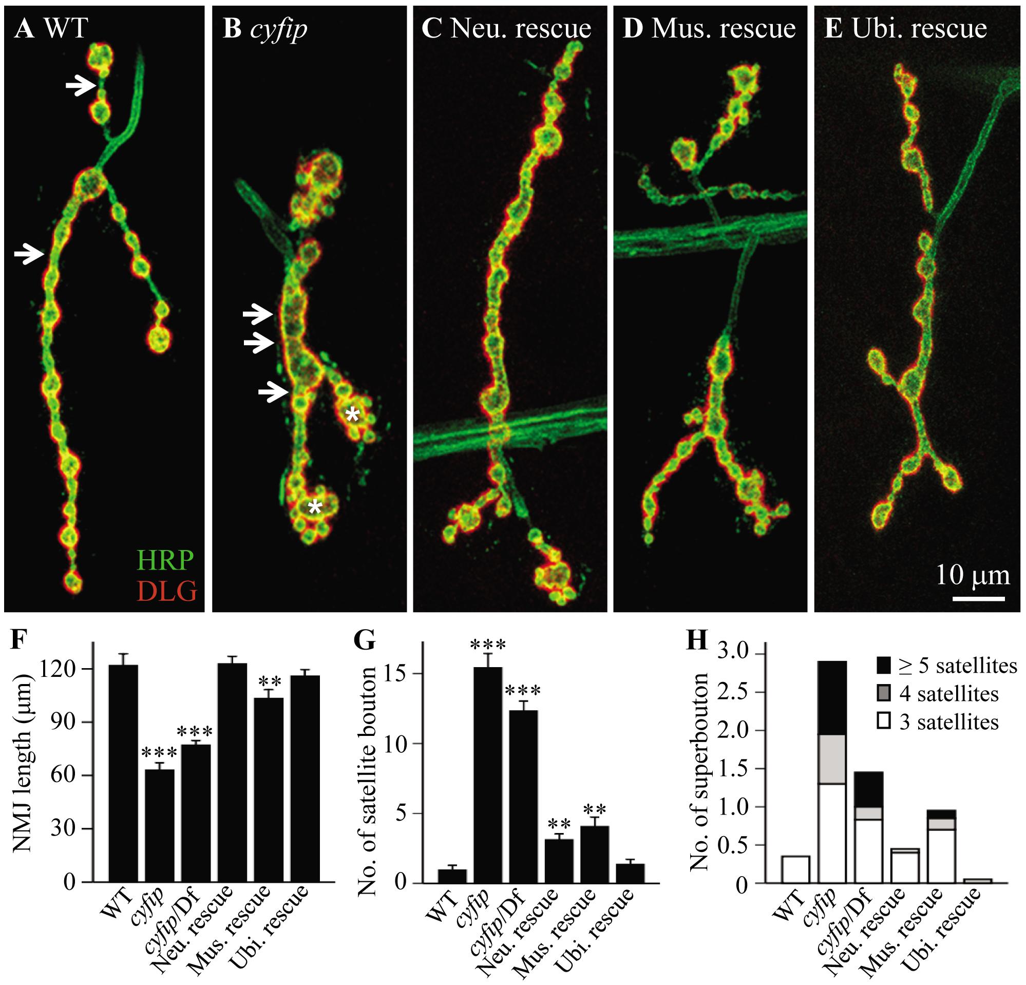 <i>cyfip</i> regulates synapse development.