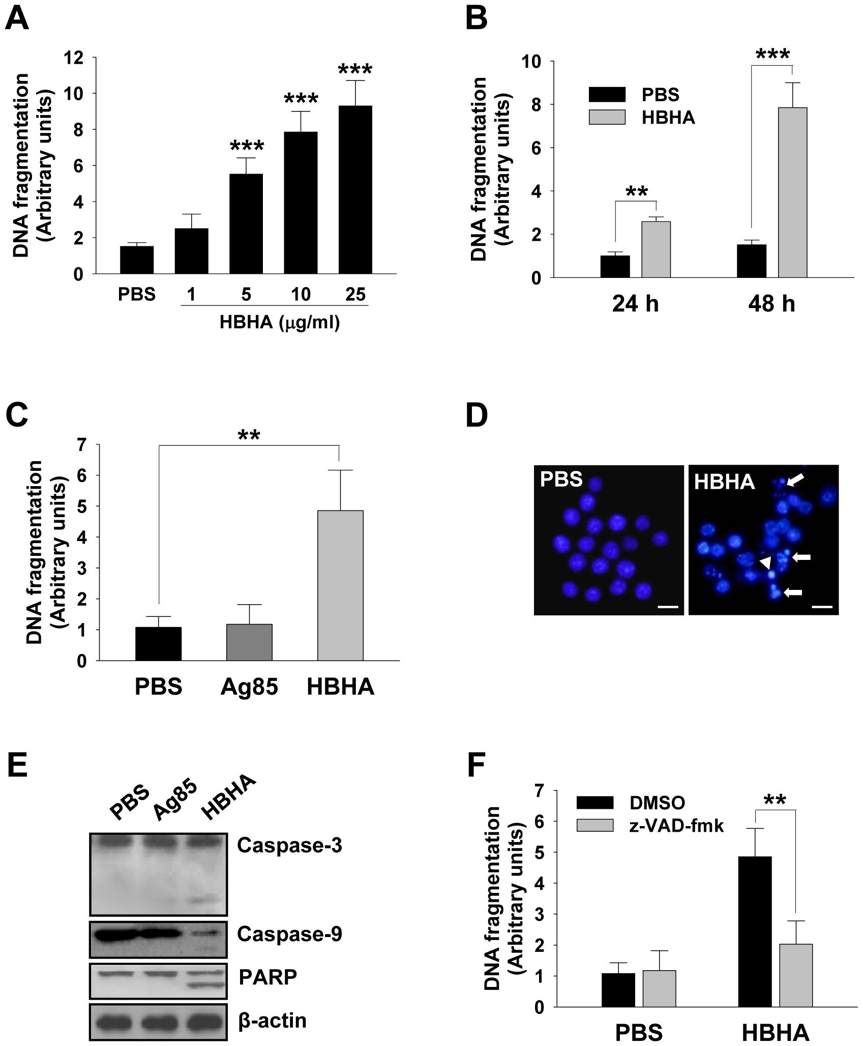 HBHA-induced macrophage apoptosis.