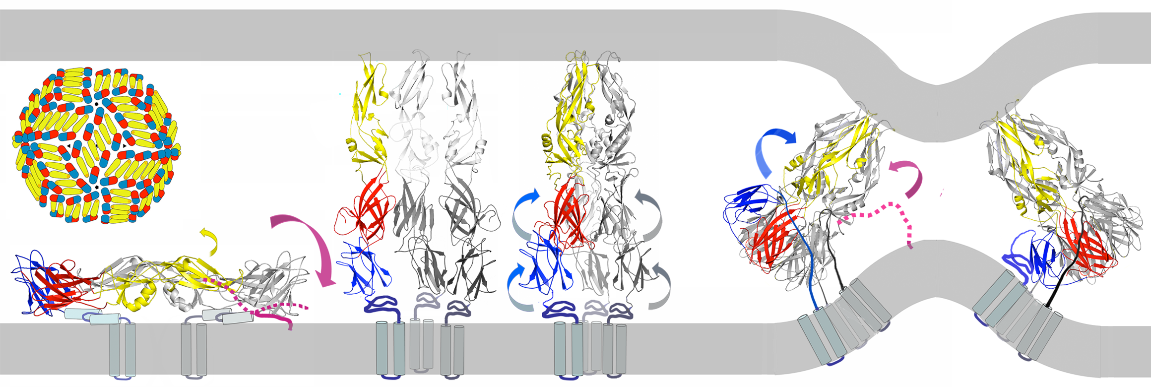 Model for inhibition of dengue-virus fusion by stem-derived peptides.