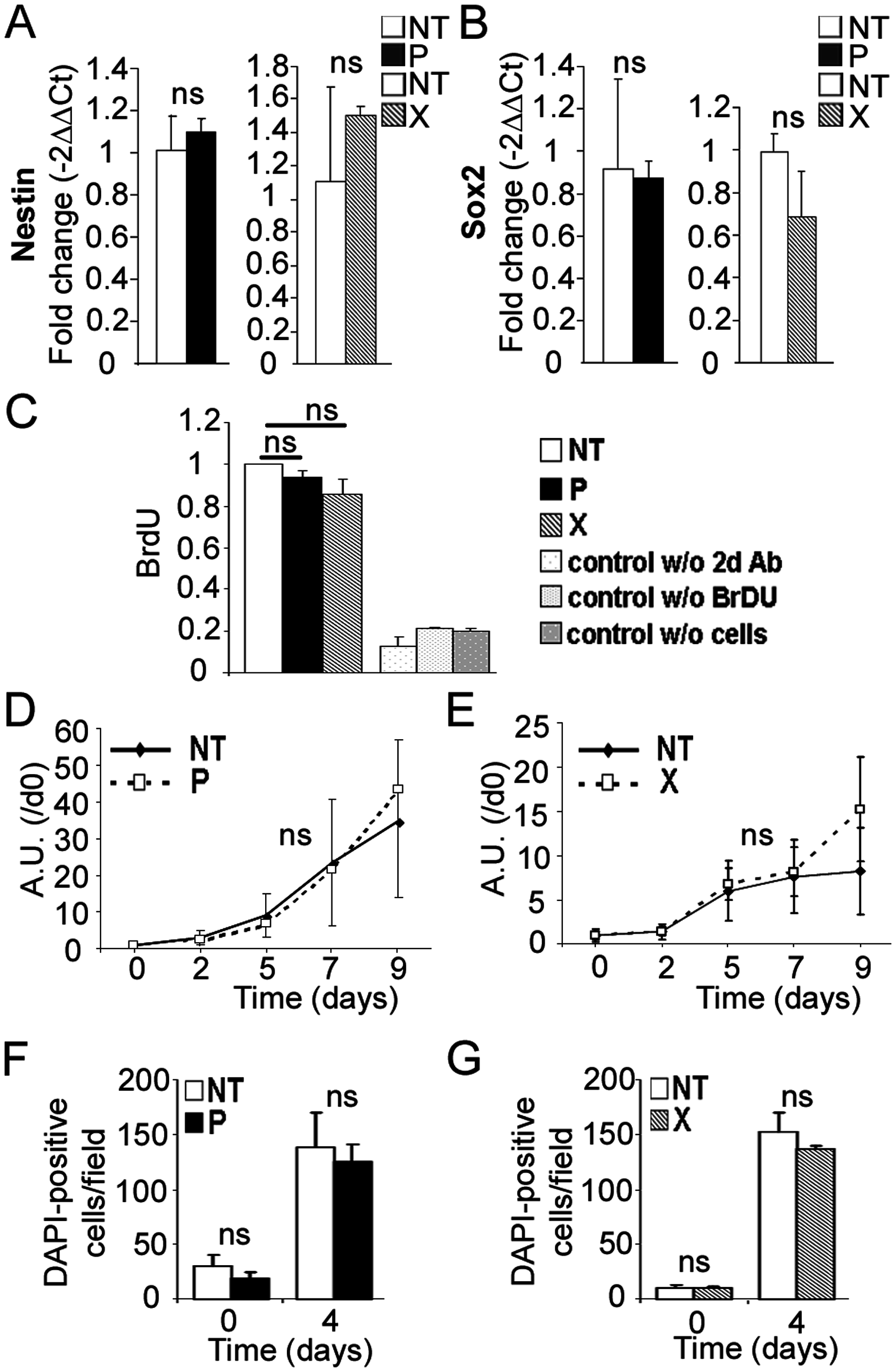 Expression of <i>bdv-p</i> or <i>bdv-x</i> gene does not alter hNPCs at the undifferentiated stage.