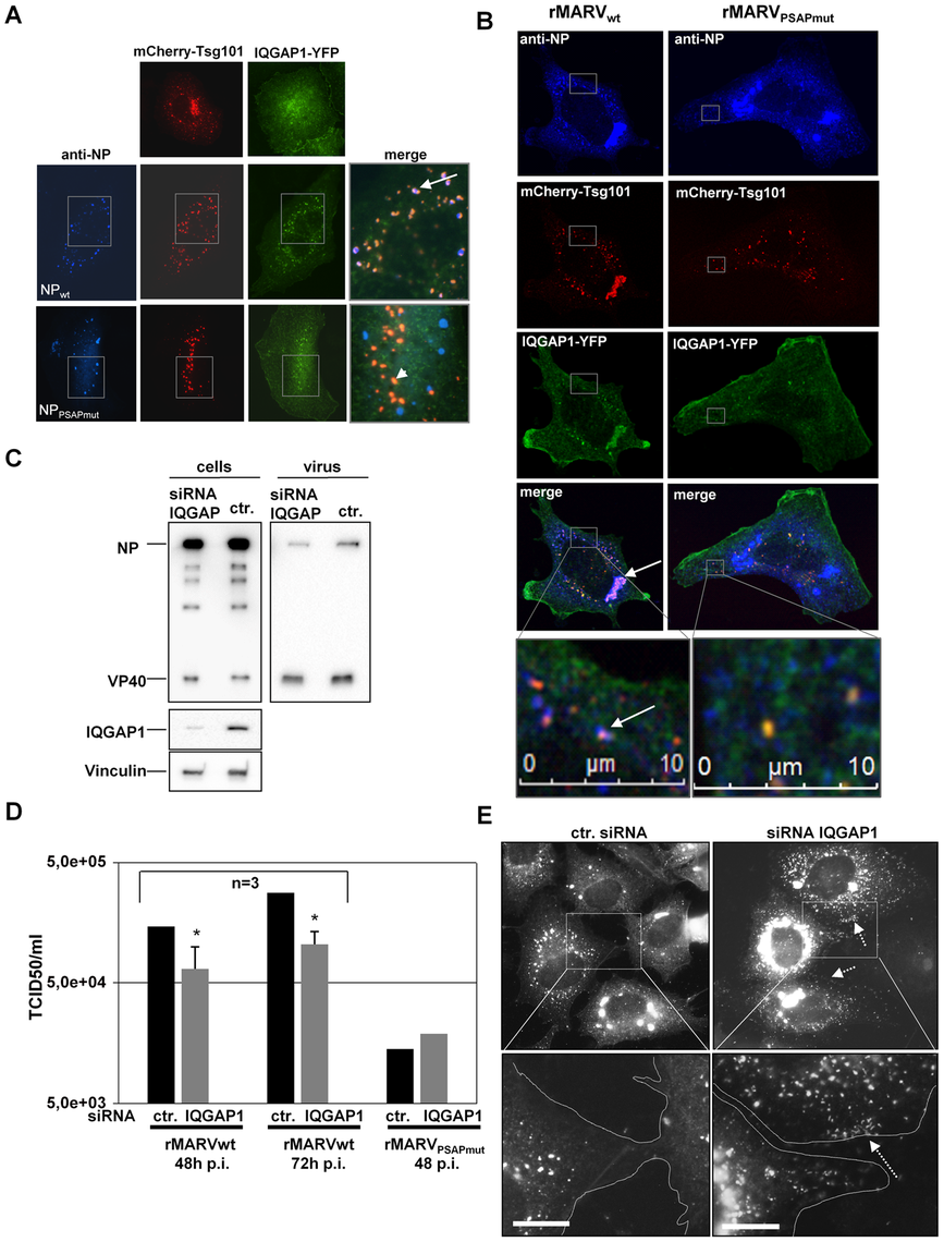 IQGAP1 is co-localized with inclusions and nucleocapsids and supports MARV release.