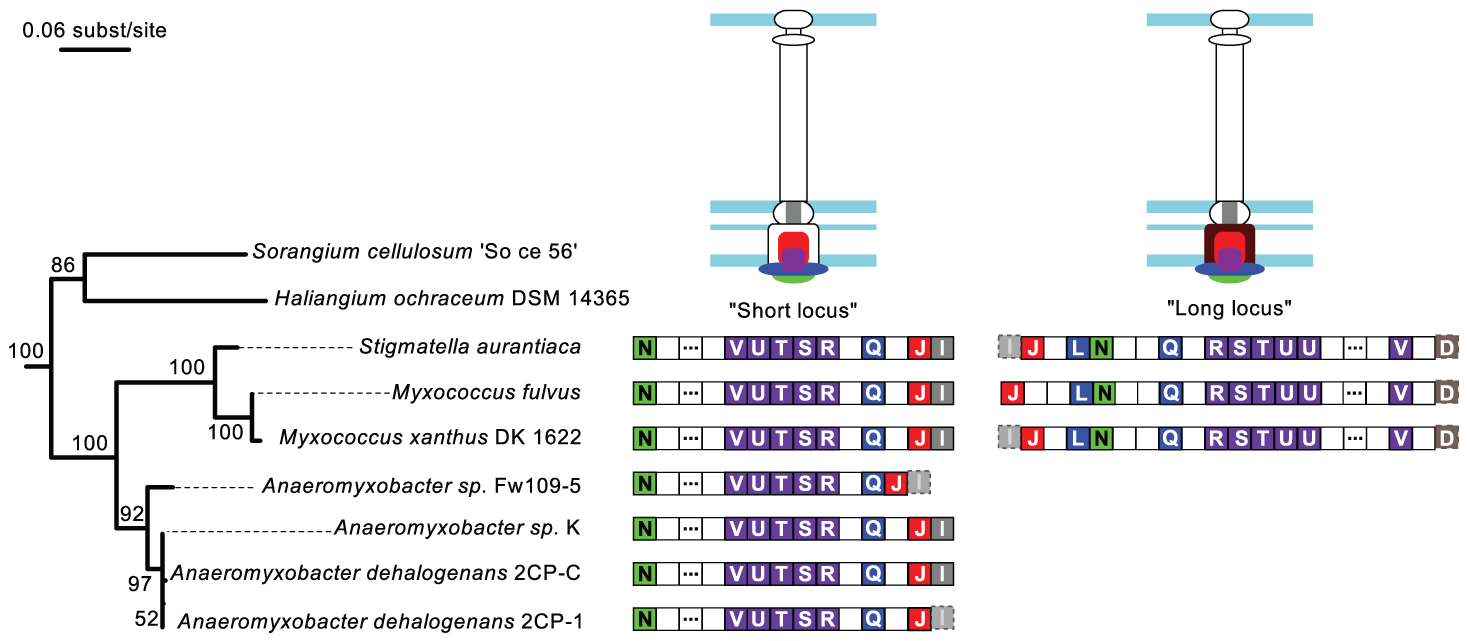 Genomic organization of the Myxo NF-T3SS.