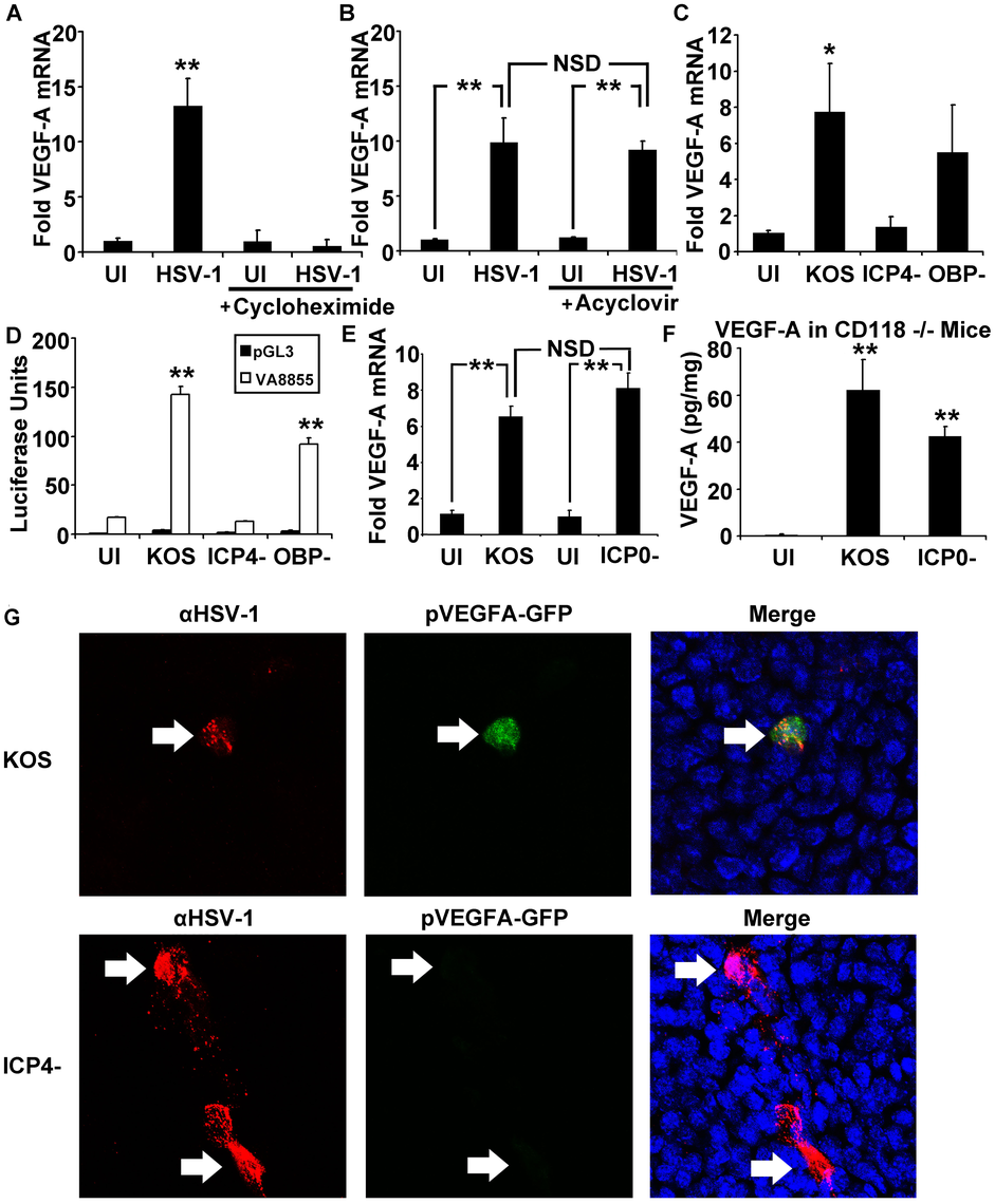 The HSV-1 transactivator ICP4 is required for VEGF-A expression.
