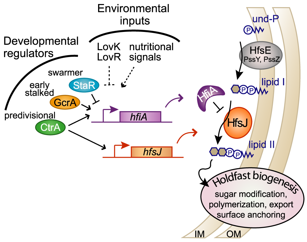 HfiA and HfsJ coordinately control holdfast development in response to cell cycle and environmental signals.
