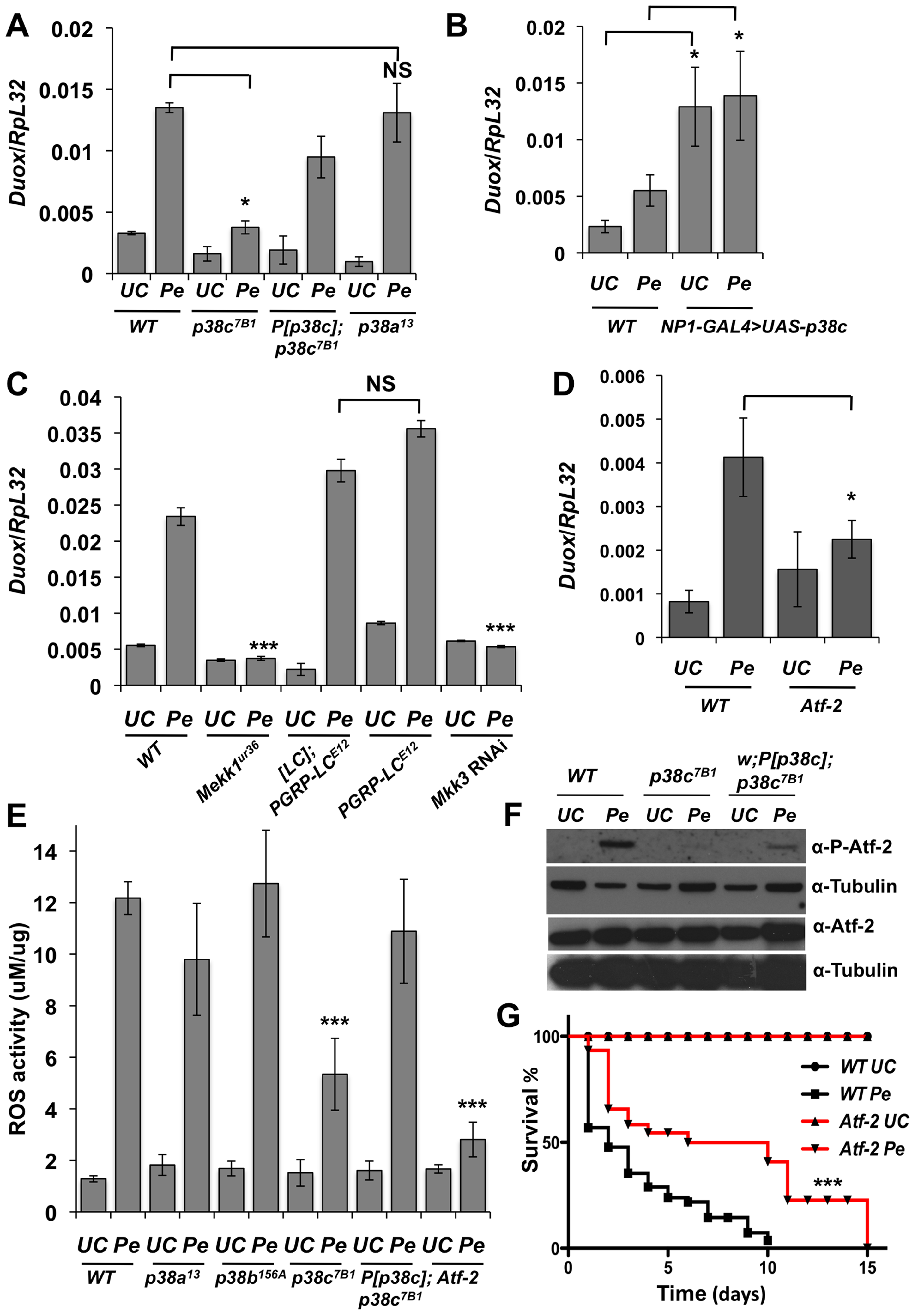 A Mekk1-Mkk3-P38c-Atf-2 pathway regulate <i>Duox</i> expression.