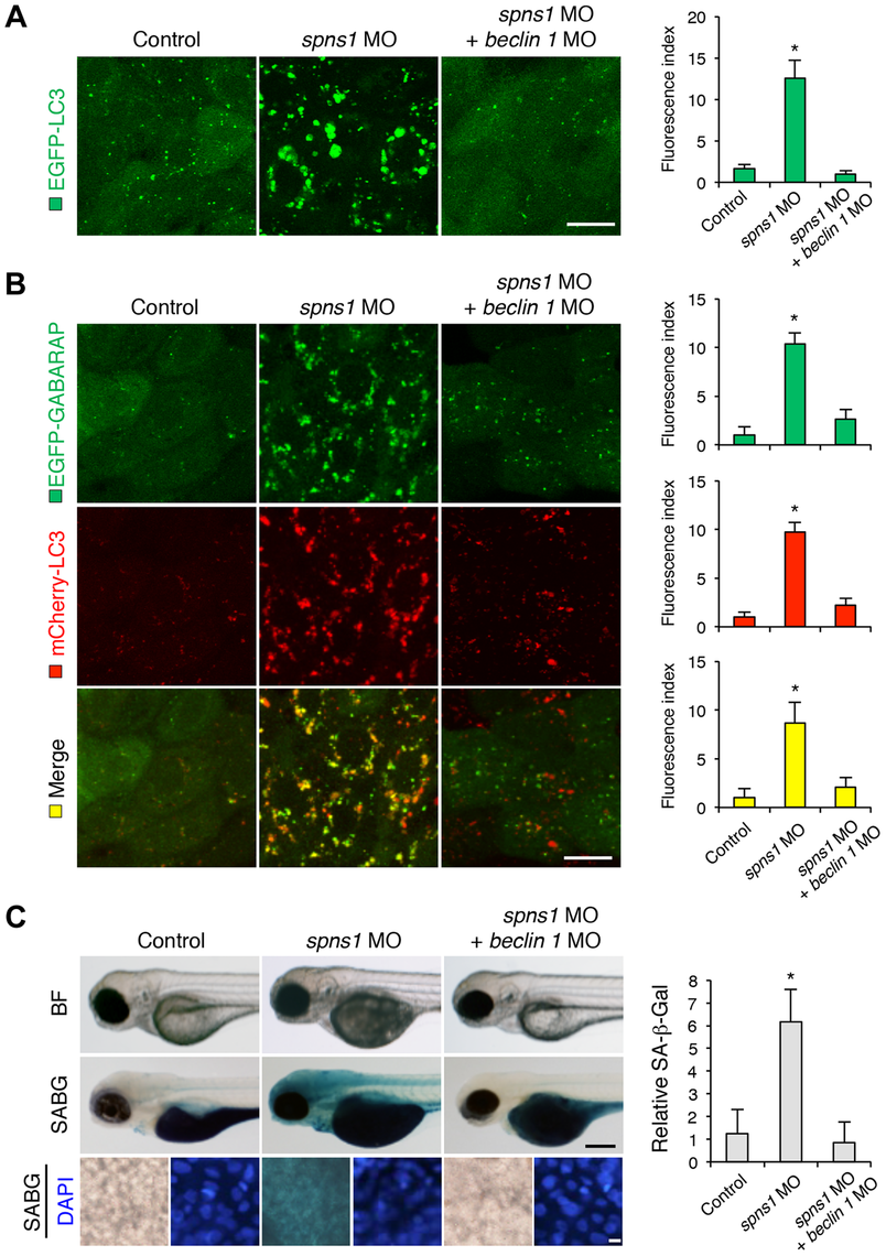 Knockdown of <i>beclin 1</i> suppresses abnormal autolysosomal puncta formation and embryonic senescence caused by Spns1 deficiency in zebrafish.