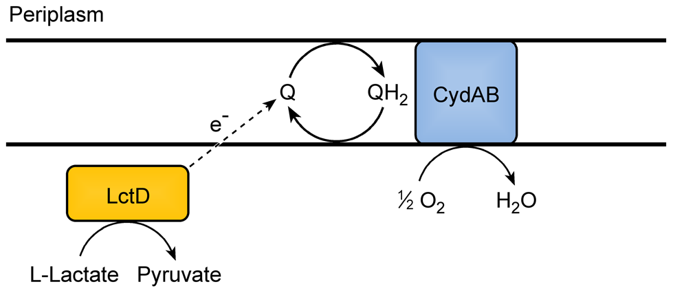 Model for electron transport during L-lactate oxidation in <i>A. actinomycetemcomitans</i>.
