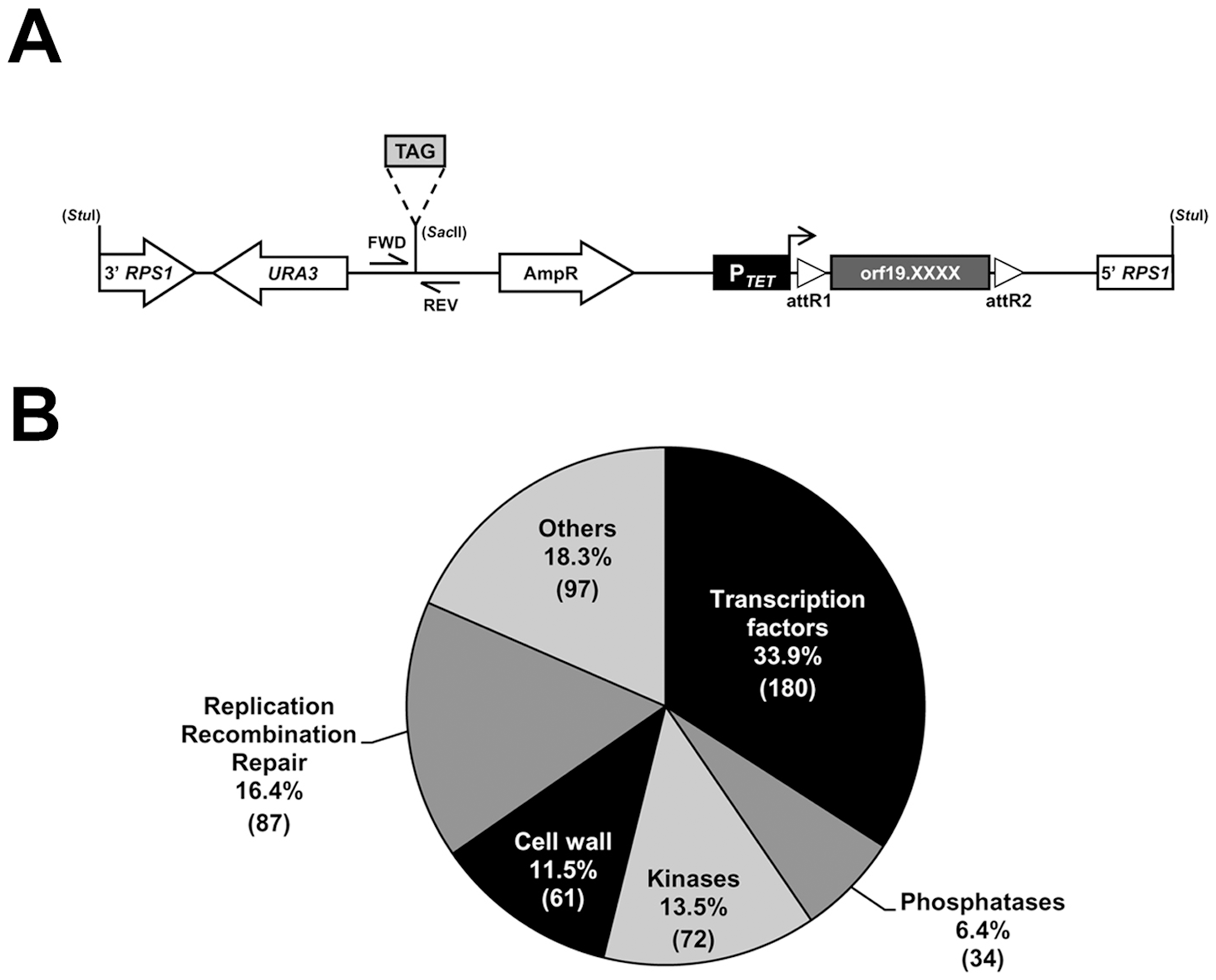 Construction of a barcoded tetracycline-inducible overexpression strain collection.