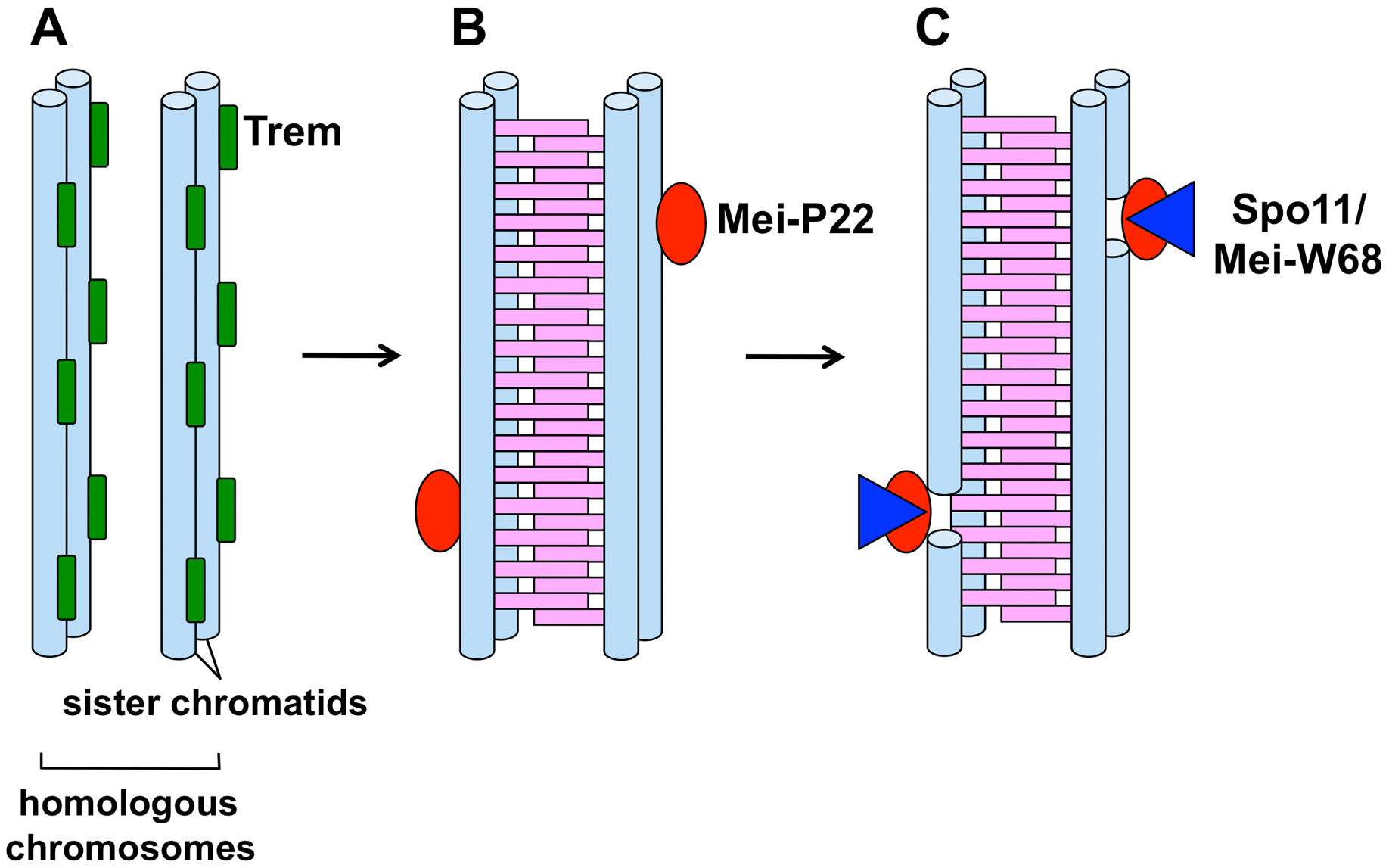 A model for stepwise formation of DSBs during female meiosis in <i>Drosophila</i>.