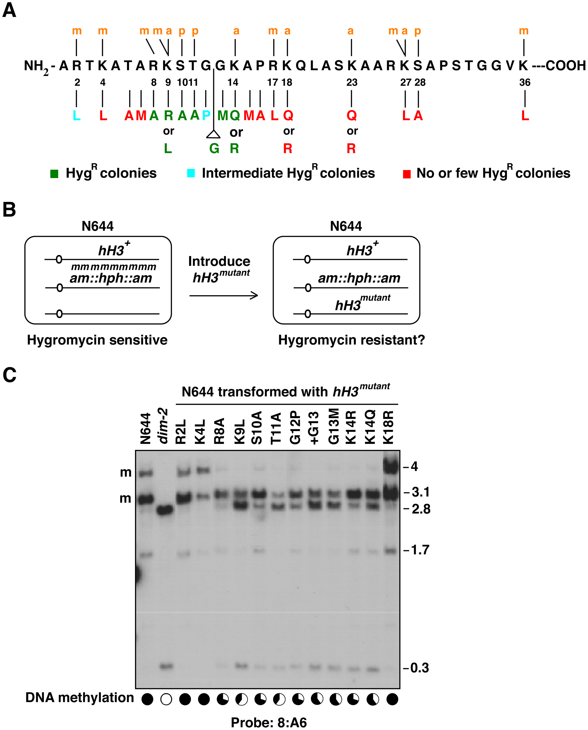 Reactivation of a methylation-silenced transgene by amino acid substitutions in the N-terminal tail of histone H3.