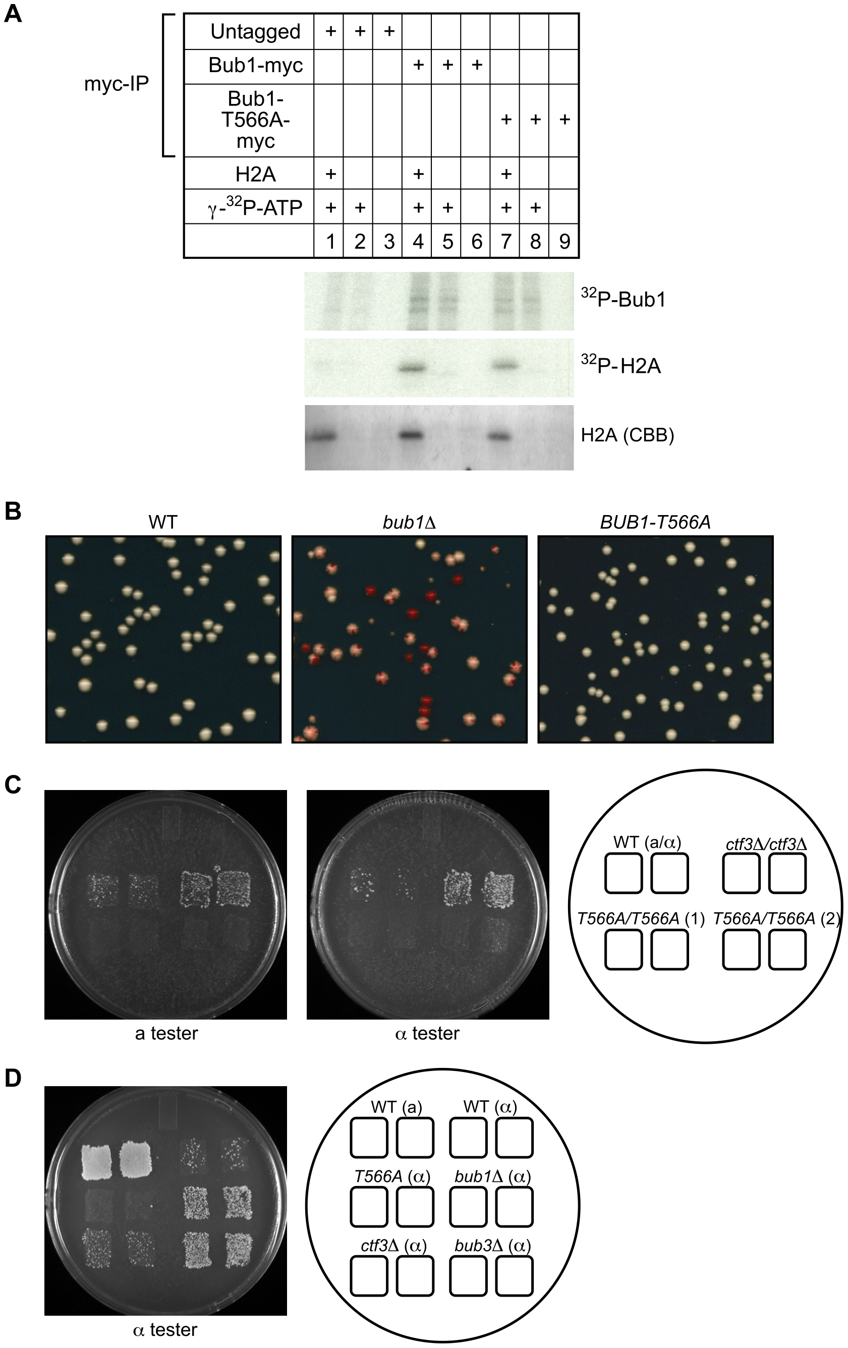 Bub1-T566A mutant has intact kinase activity or kinetochore function.