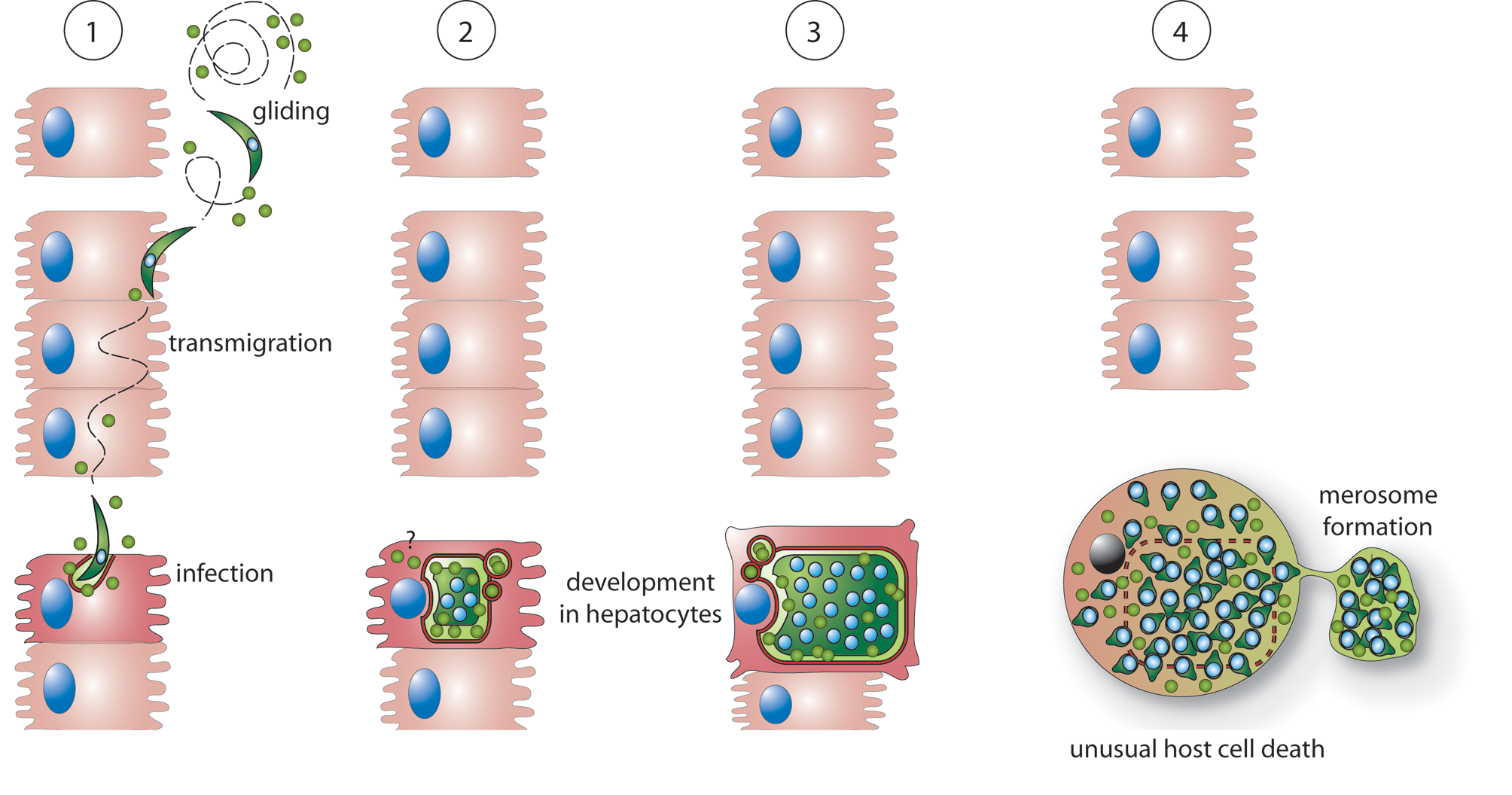 Possible roles of PbICP during the exoerythrocytic development of <i>P. berghei in vitro</i>.