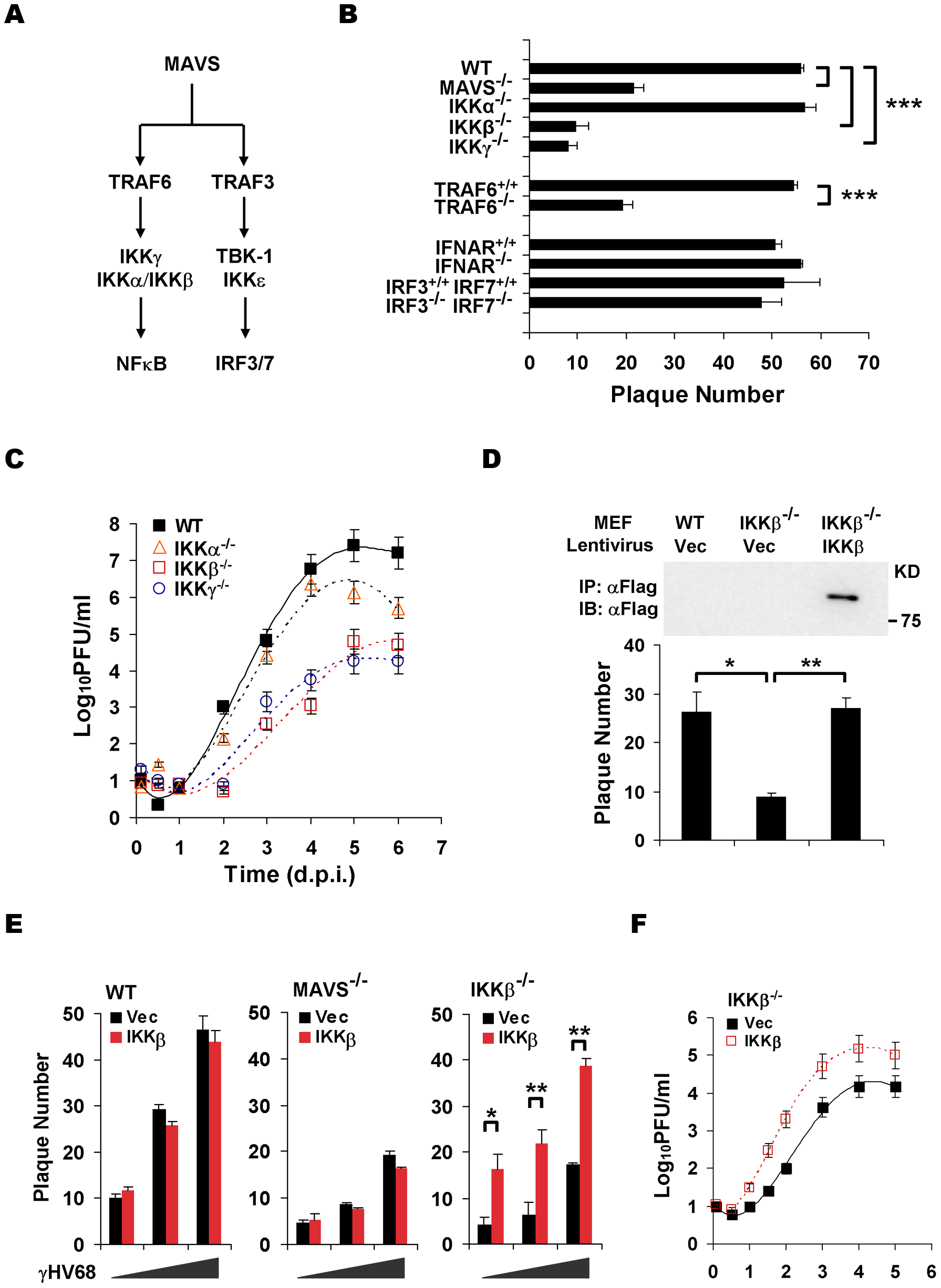 The MAVS-IKKβ pathway is necessary for efficient γHV68 lytic replication <i>ex vivo</i>.