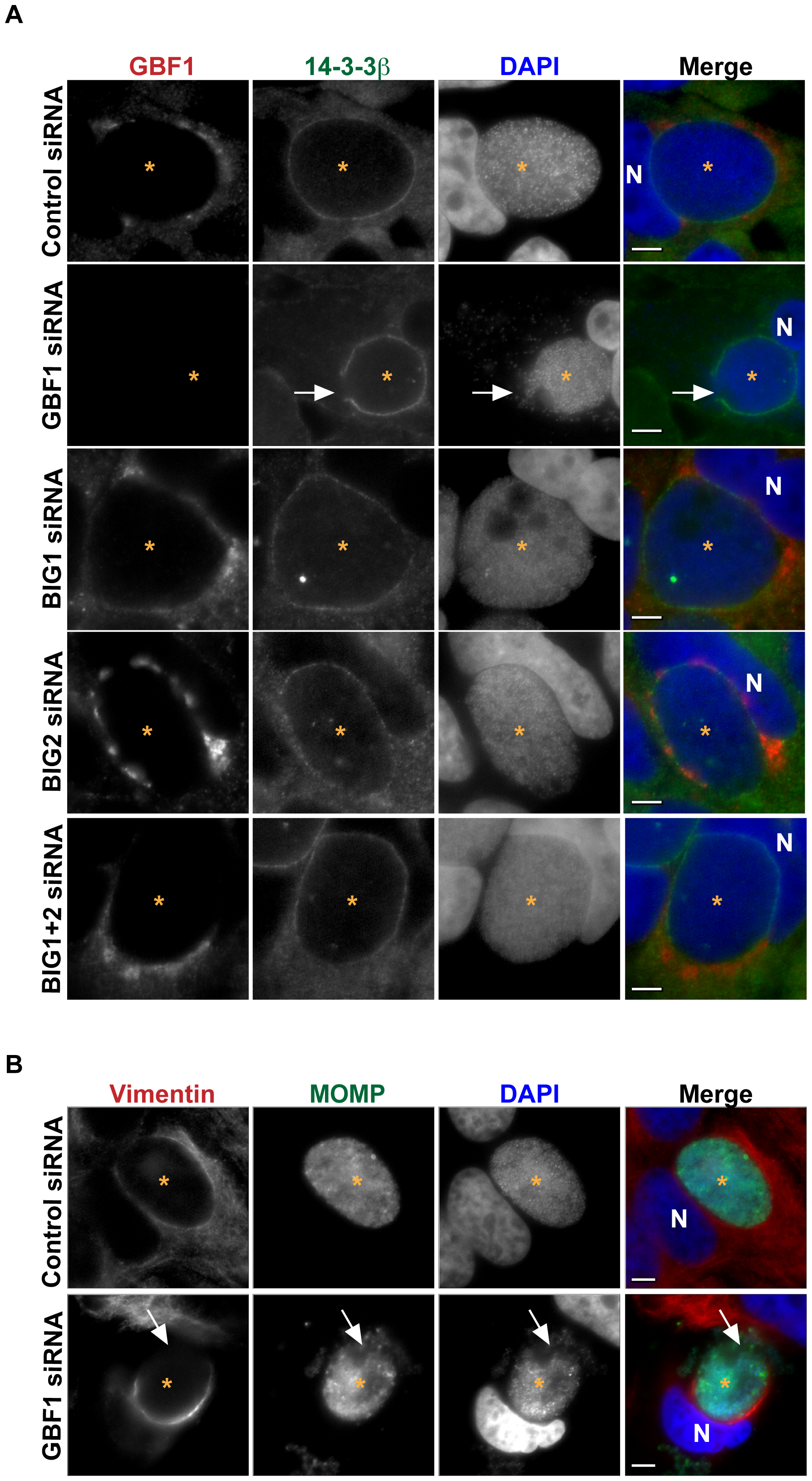 GBF1 but not BIG1/2 function is required for inclusion membrane stability.