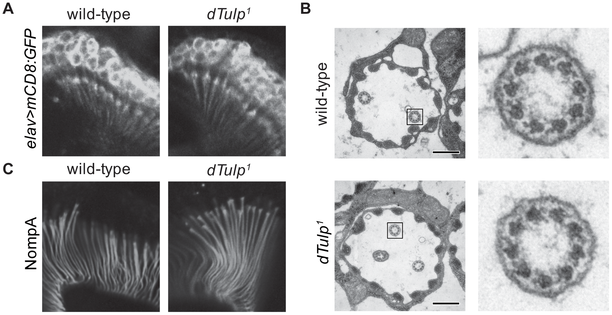 Normal scolopidia structure in the <i>dTulp</i> mutant.