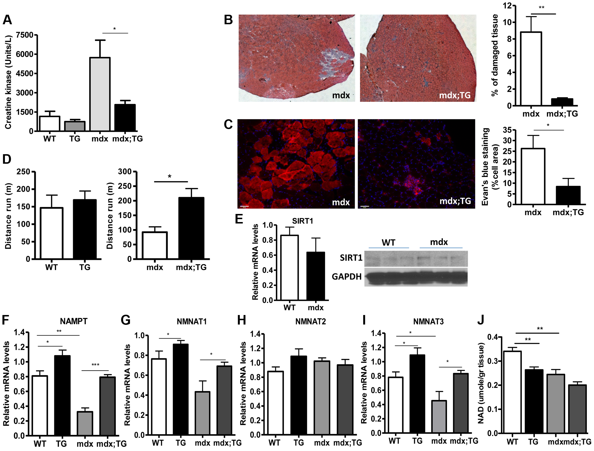 SIRT1 overexpression in skeletal muscle alleviates the muscular dystrophic phenotype of mdx mouse.