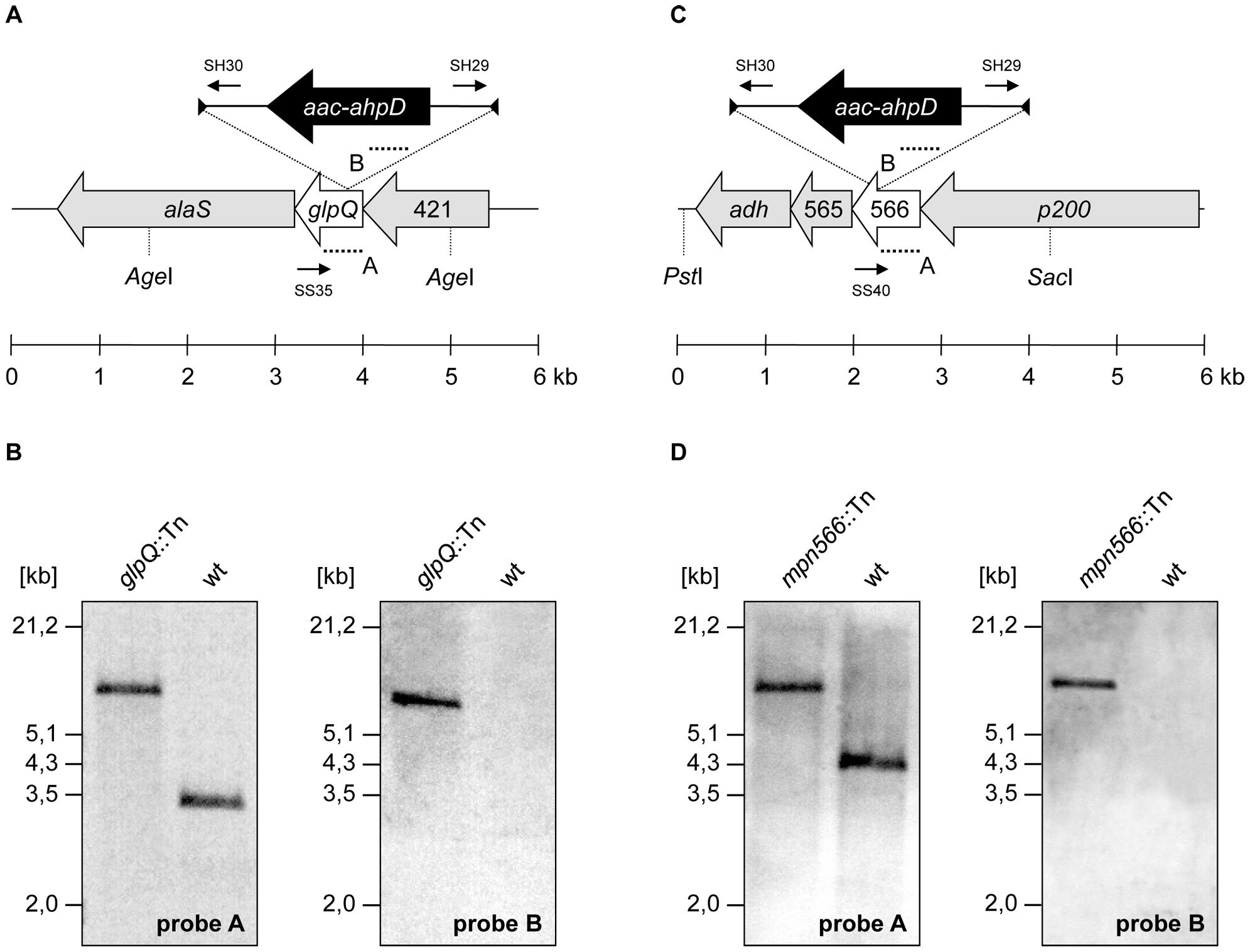 Isolation of <i>M. pneumoniae</i> glycerophosphodiesterases transposon insertion mutants.