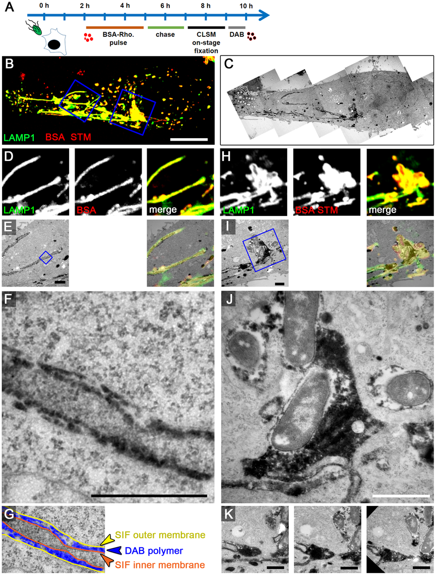 The outer lumen of double membrane SIF is in interchange with endocytosed material.