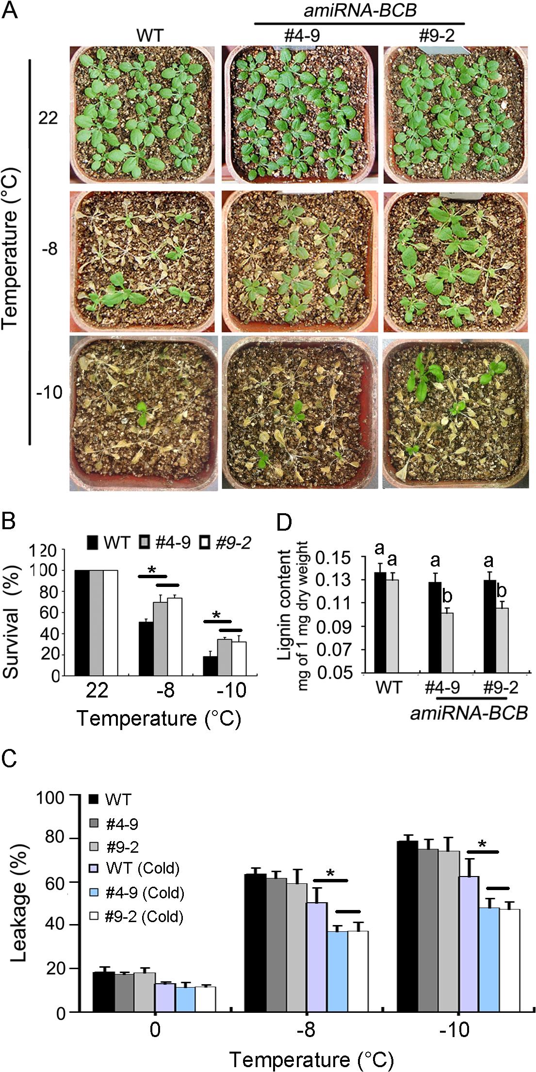 <i>amiRNA-BCB</i> plants are tolerant to freezing treatment.