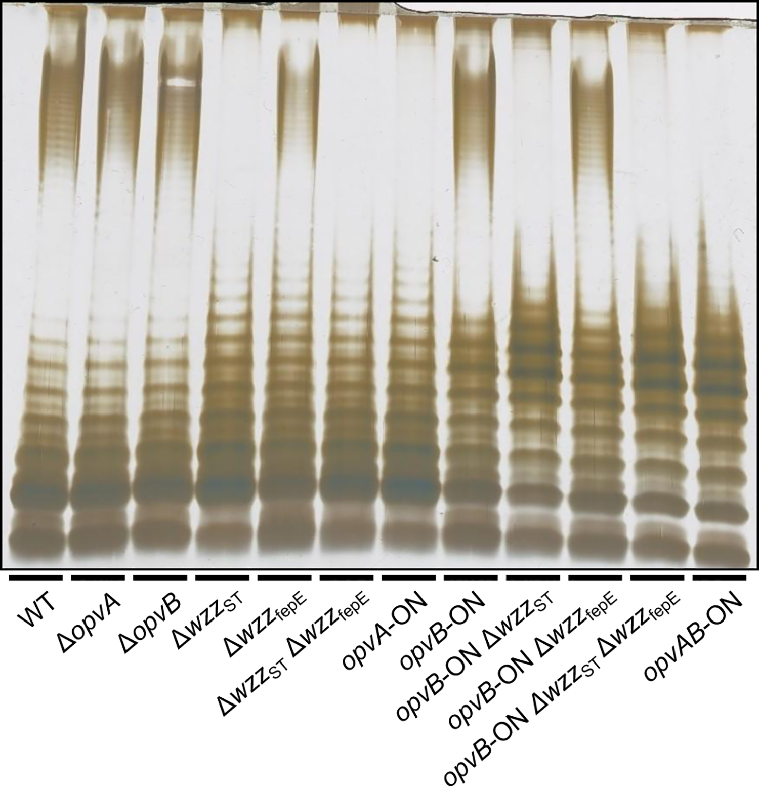 Analysis of the roles of OpvA and OpvB in the control of O-antigen chain length.