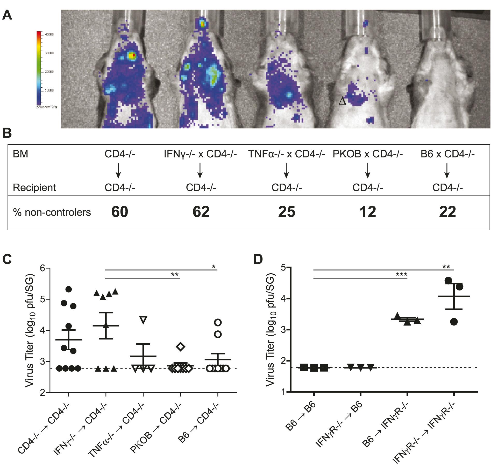 CD4 T cells exert direct antiviral mechanisms by secretion of IFNγ.