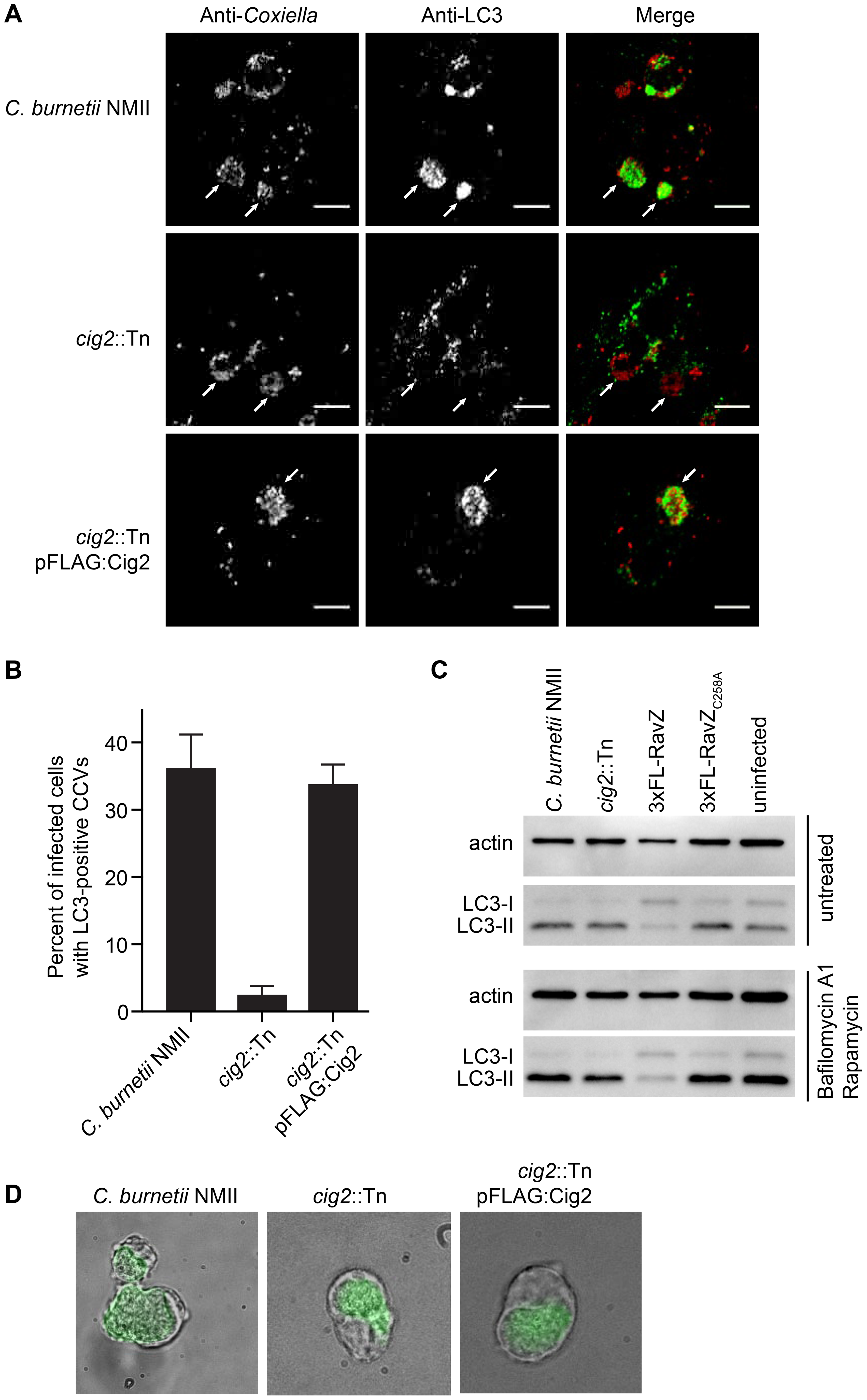 The effector Cig2 is important for CCV fusion with autophagosomes.