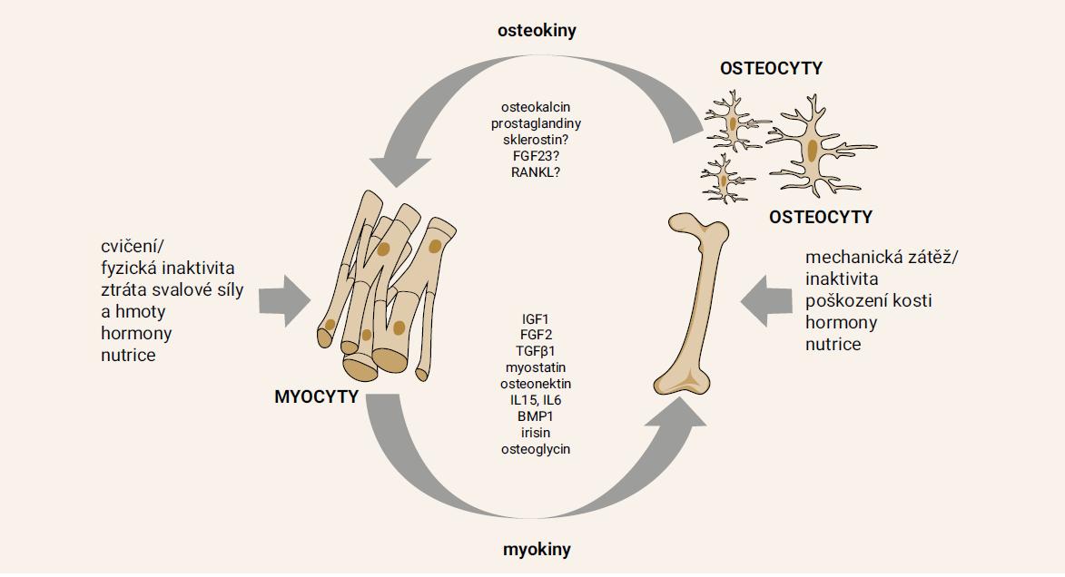 Schéma 1. Svalově kostní jednotka a lokální a endokrinní regulační faktory. Na regulaci se podílejí jak společné systémové mechanizmy (endokrinní a neurální regulace), tak komunikace mezi svalovou a kostní tkání na orgánové úrovni (biomechanické signály během fyzické zátěže) a na buněčné (intercelulární komunikace) a molekulární úrovni (myokiny, cytokiny nebo růstové faktory). Upraveno podle [16,70]