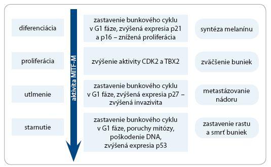 Schéma 1. Úloha MITF-M pri regulácii starnutia melanocytov.
